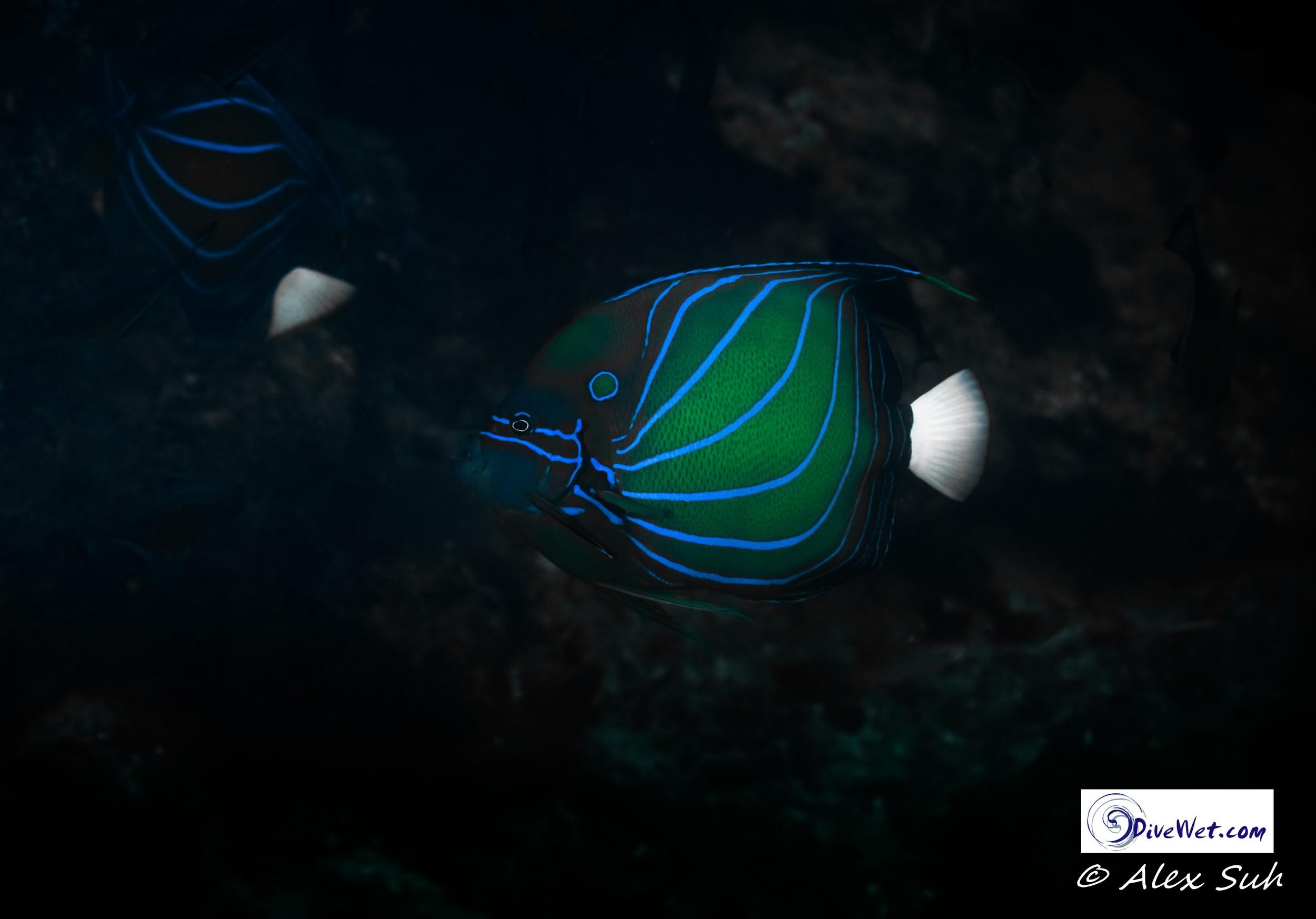 Blueline Angelfish (Chaetodontoplus septentrionalis)