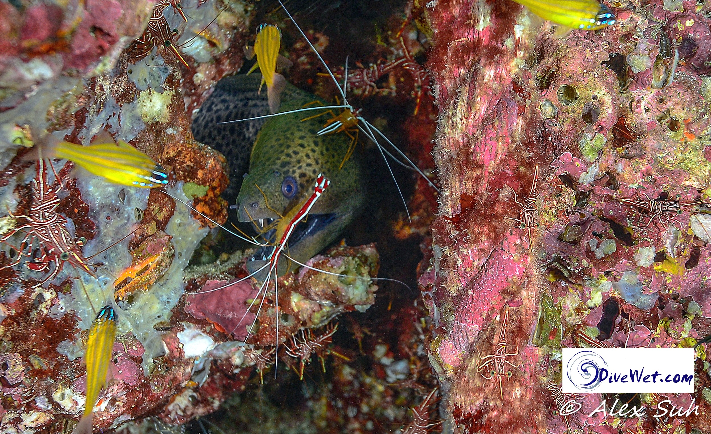Moray Eel and 2 Cleaner Shrimps