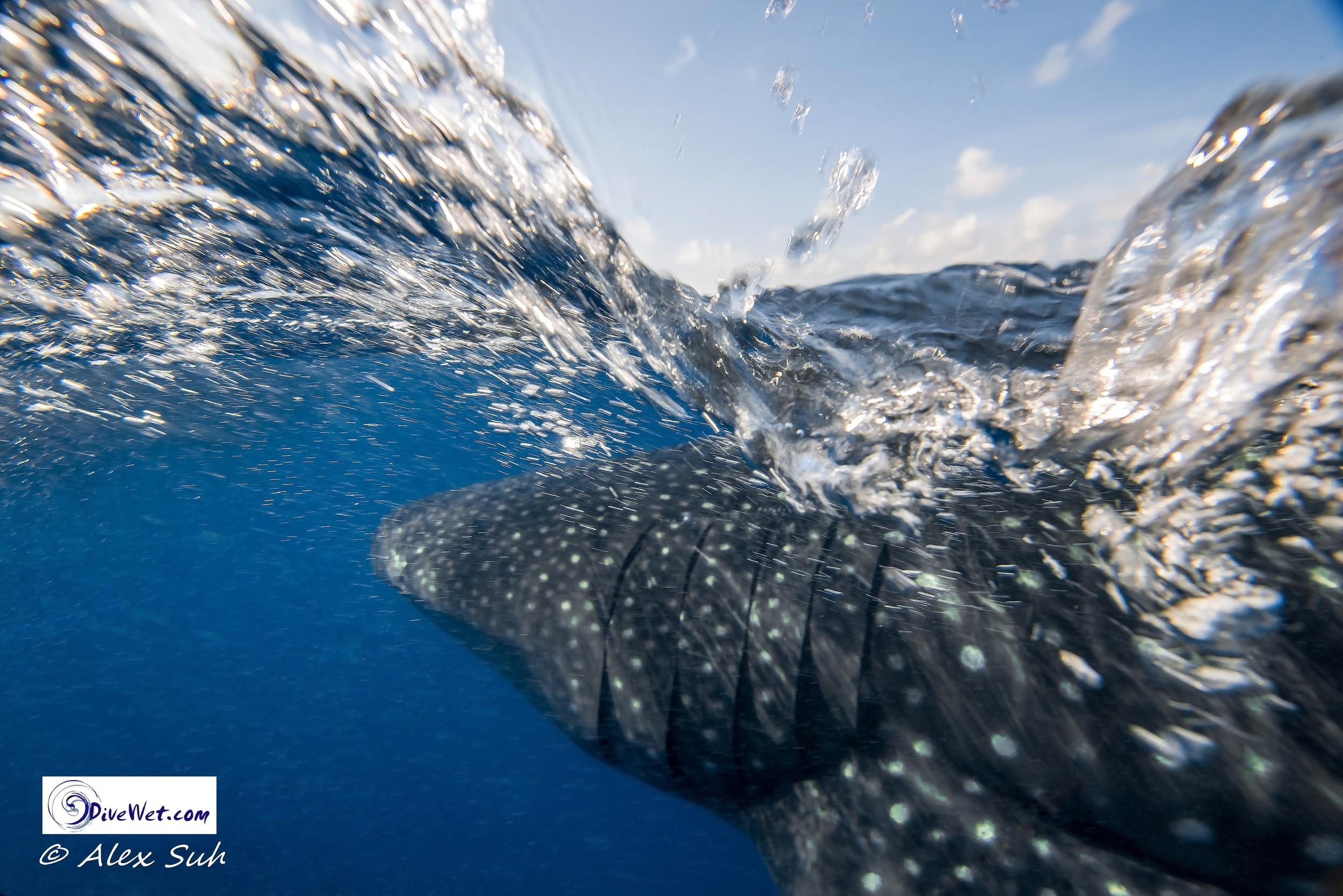 Over Under Whale Shark (Rhincodon typus)
