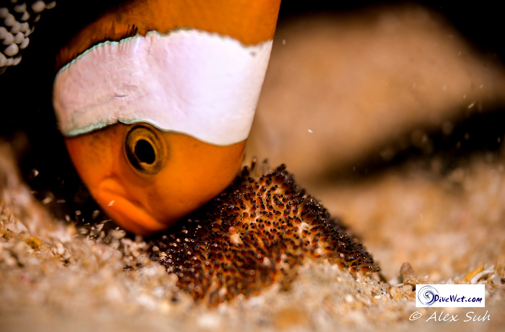 Skunk Clown Fish Protecting Eggs