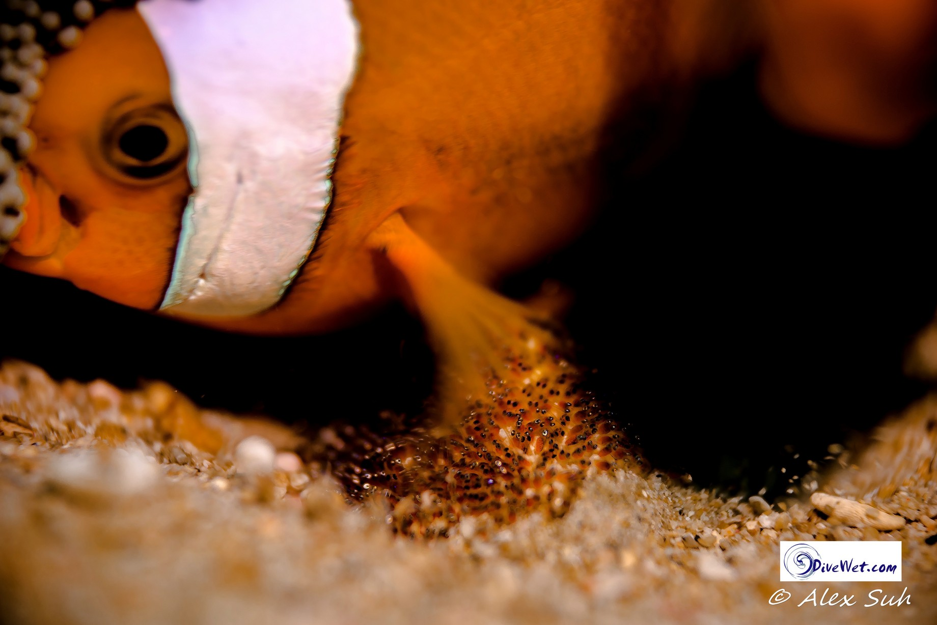 Skunk Clown Fish Fanning Eggs