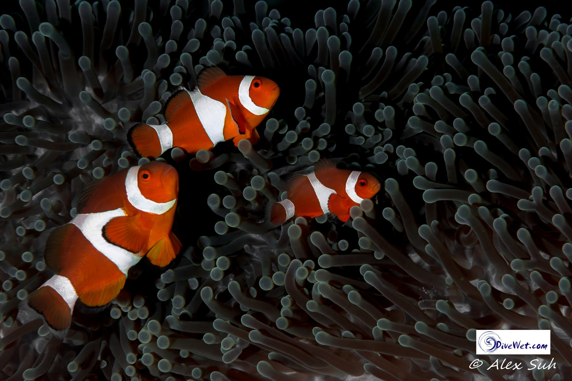 Family of Percula Clown Fish