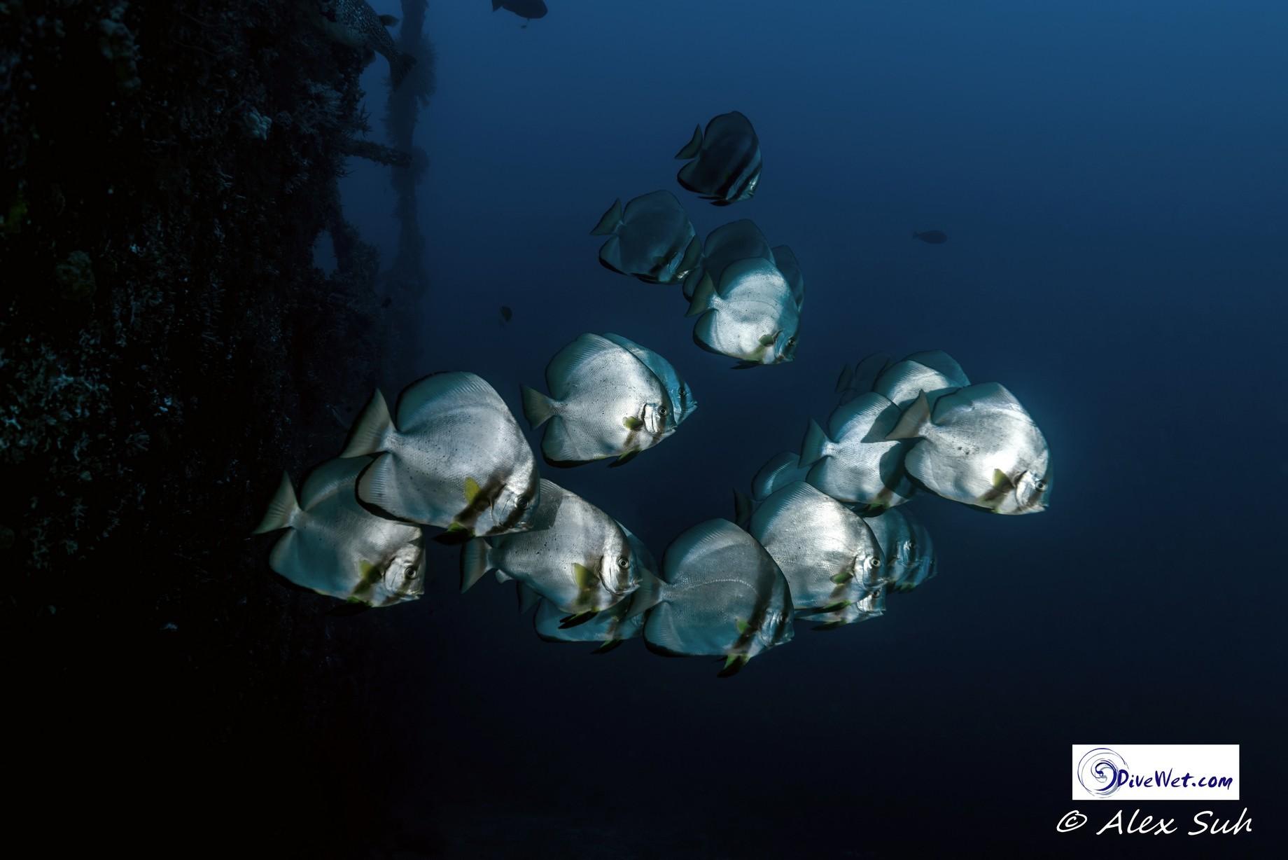 School of Golden Batfish (Platax boersii)