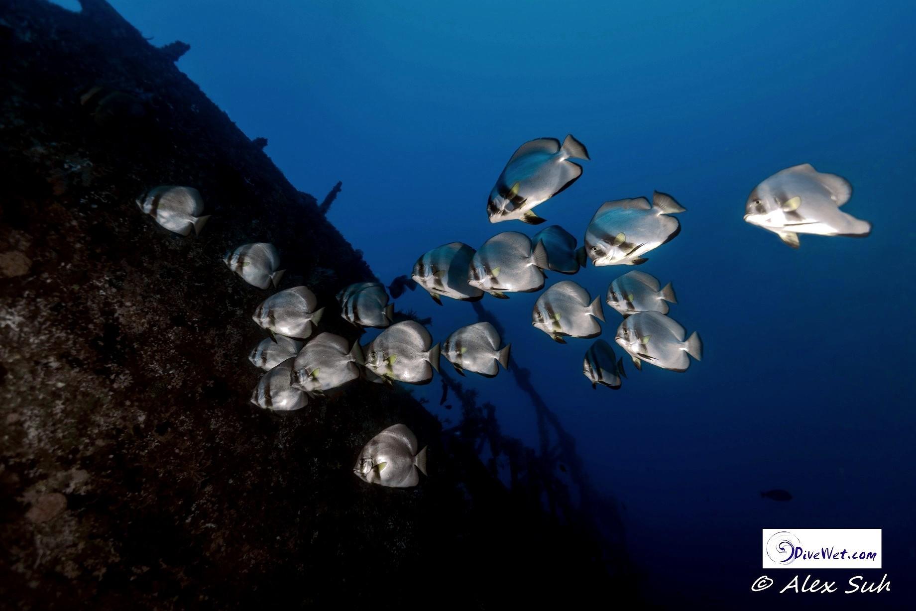 Batfish (Platax boersii)