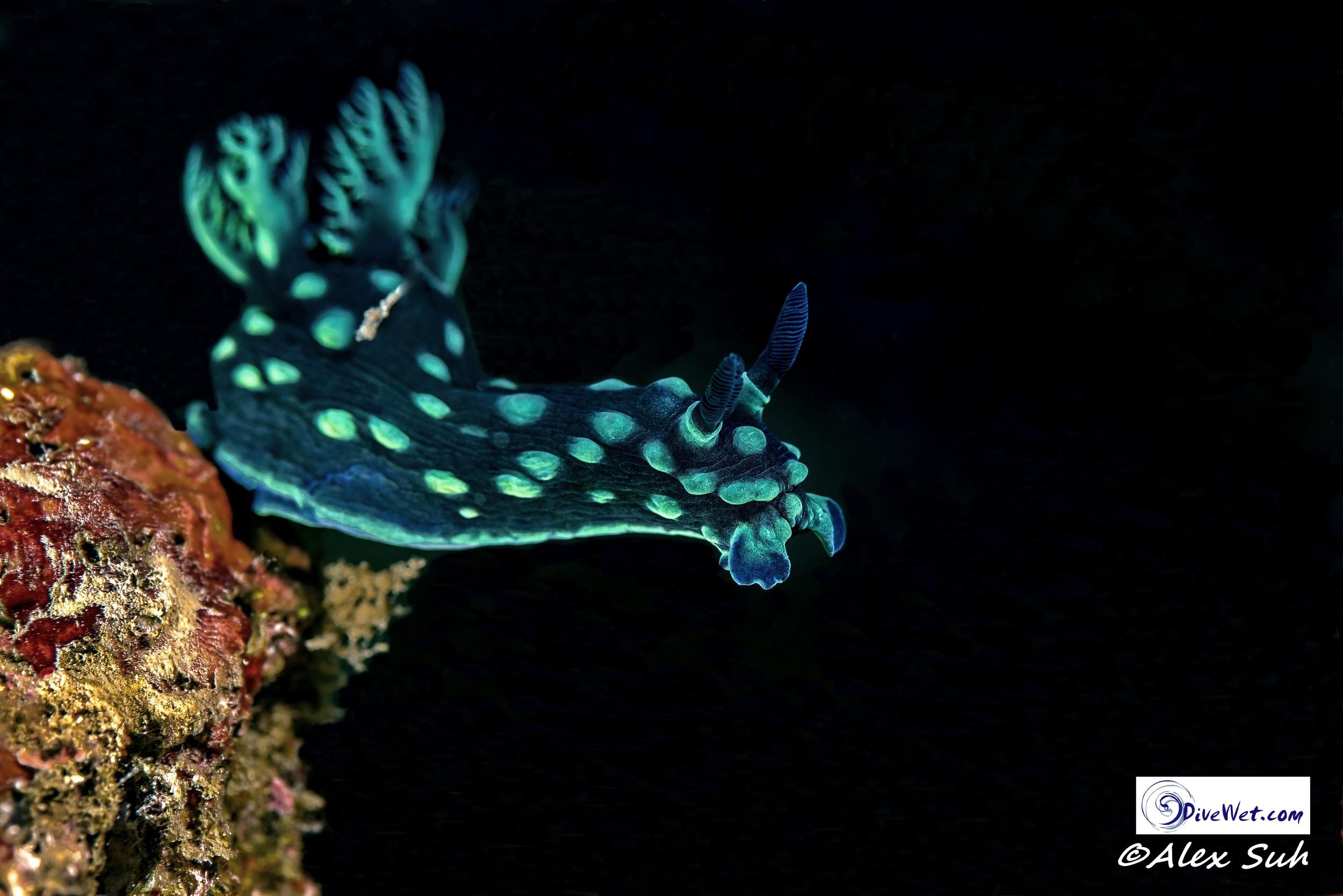 Membrotha milleri Nudibranch