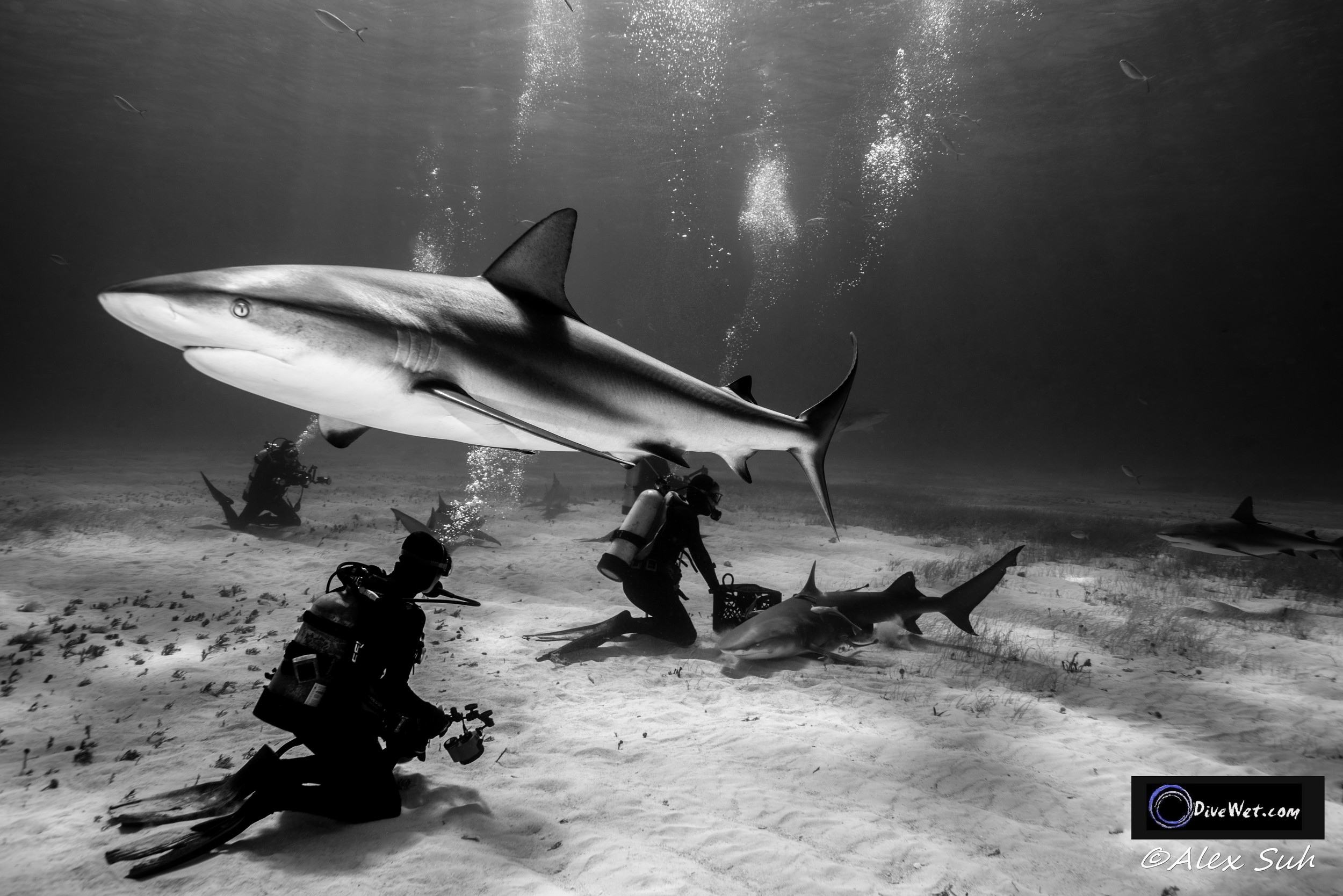 Caribbean Reef Shark in BW