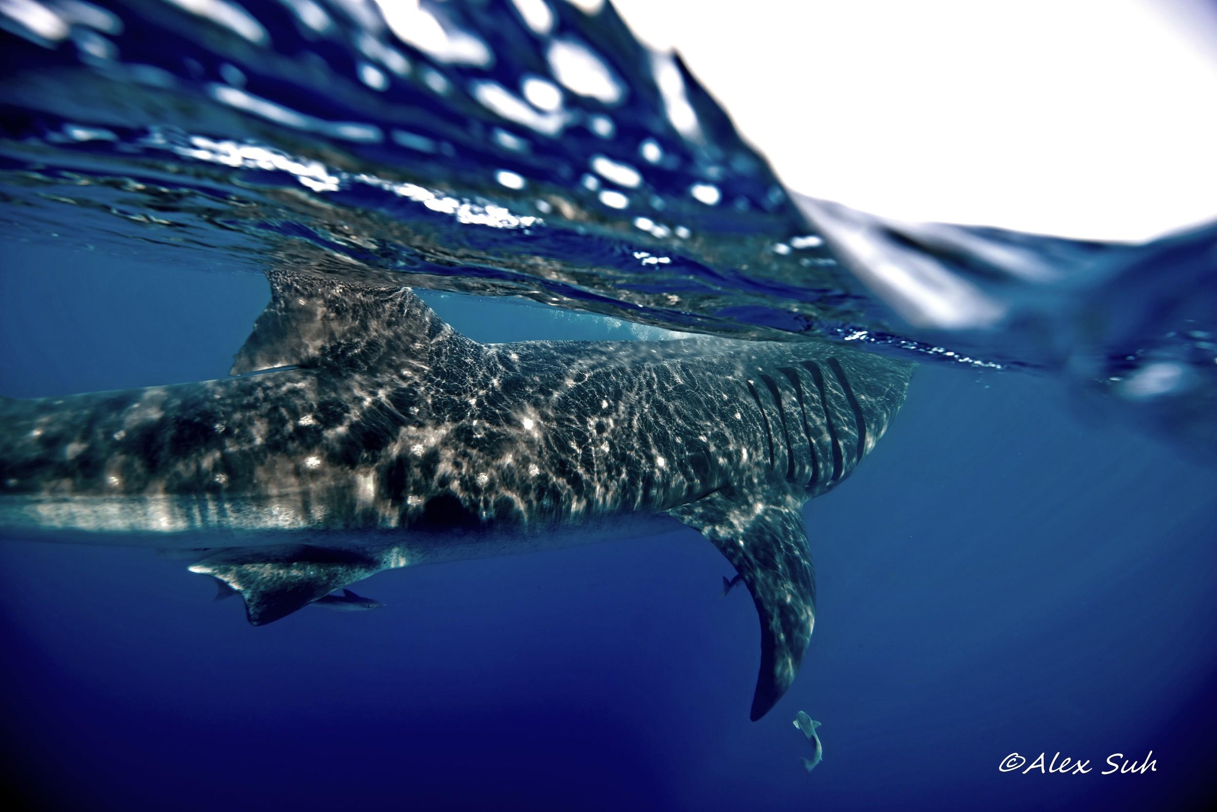 OU Wave Whale Shark Turning Away.jpg