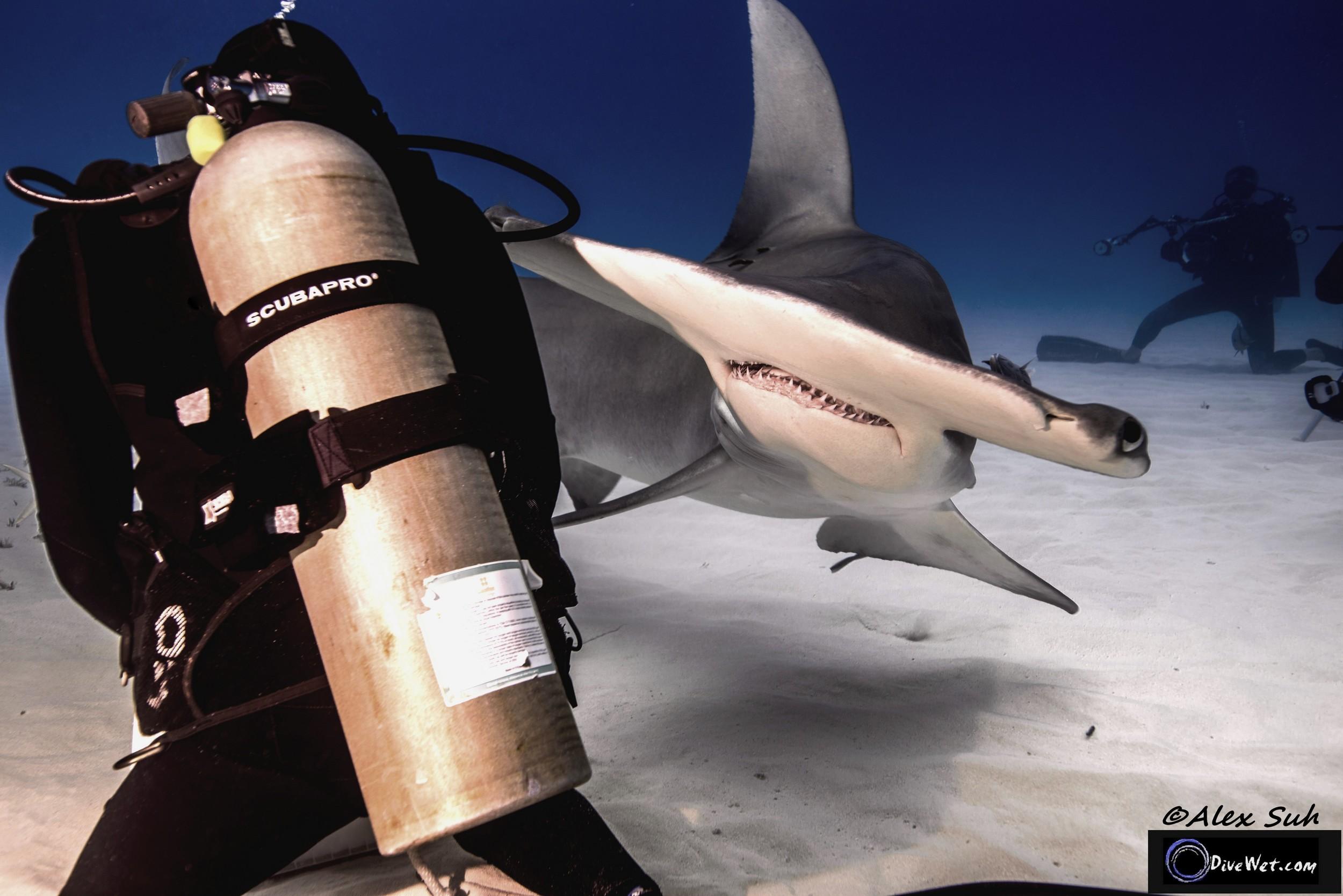 Great Hammerhead Shark (Sphyrna mokorran) - Face off