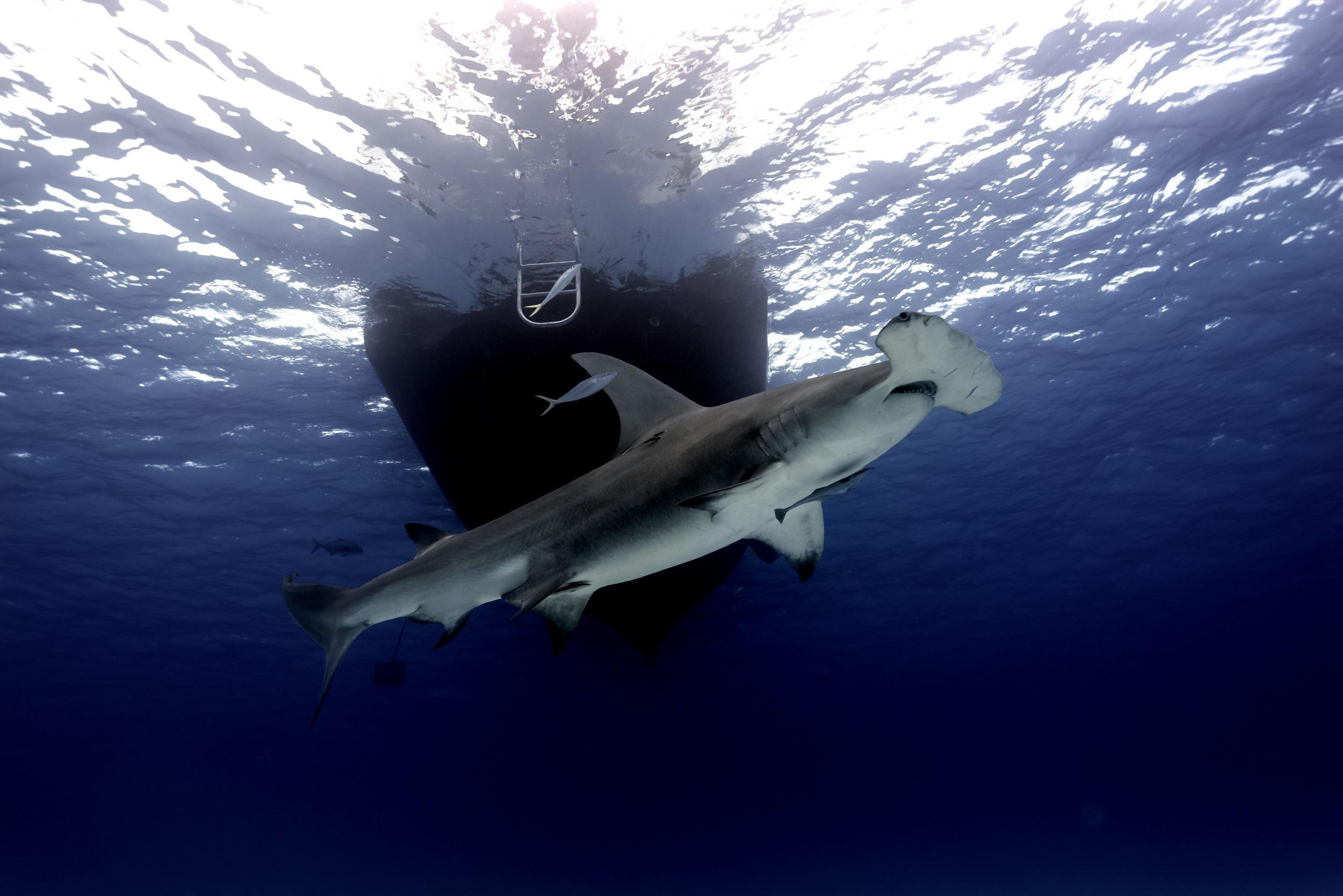 Great Hammerhead Shark (Sphyrna mokorran) - Swim by