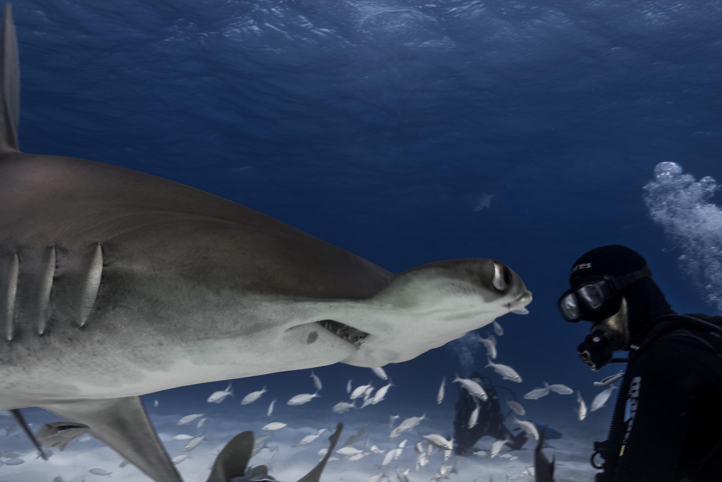 Great Hammerhead Shark (Sphyrna mokorran) - What you looking at Willis?