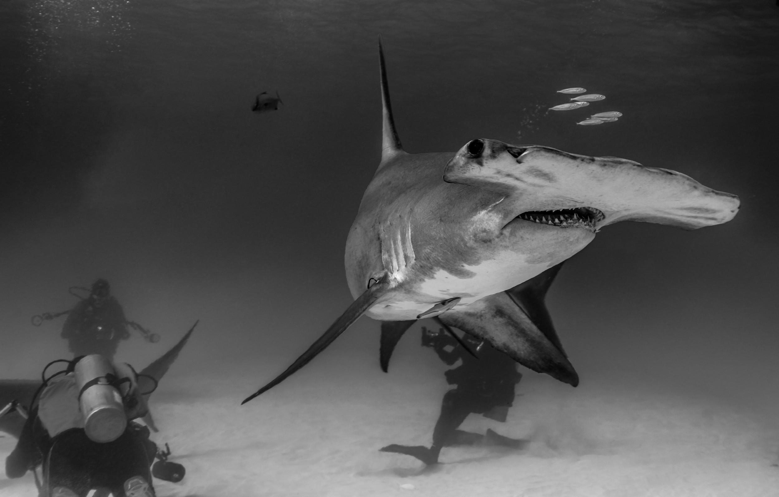 Great Hammerhead Shark (Sphyrna mokorran) - BW Hammer and friends