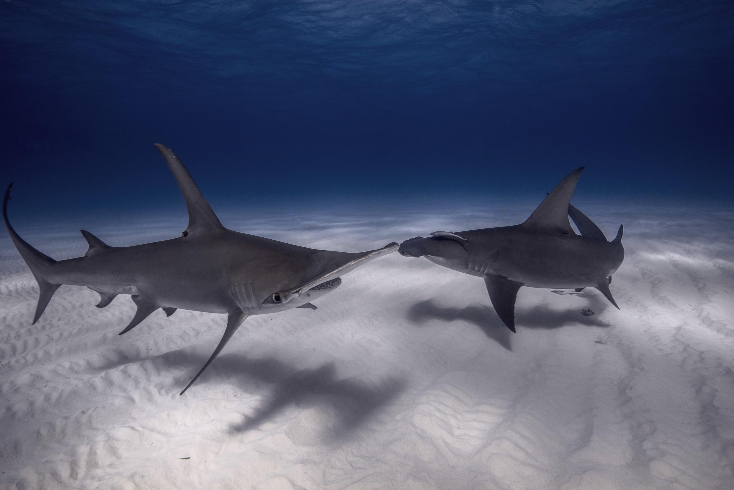 Double Great Hammerhead Shark (Sphyrna mokorran) - head on