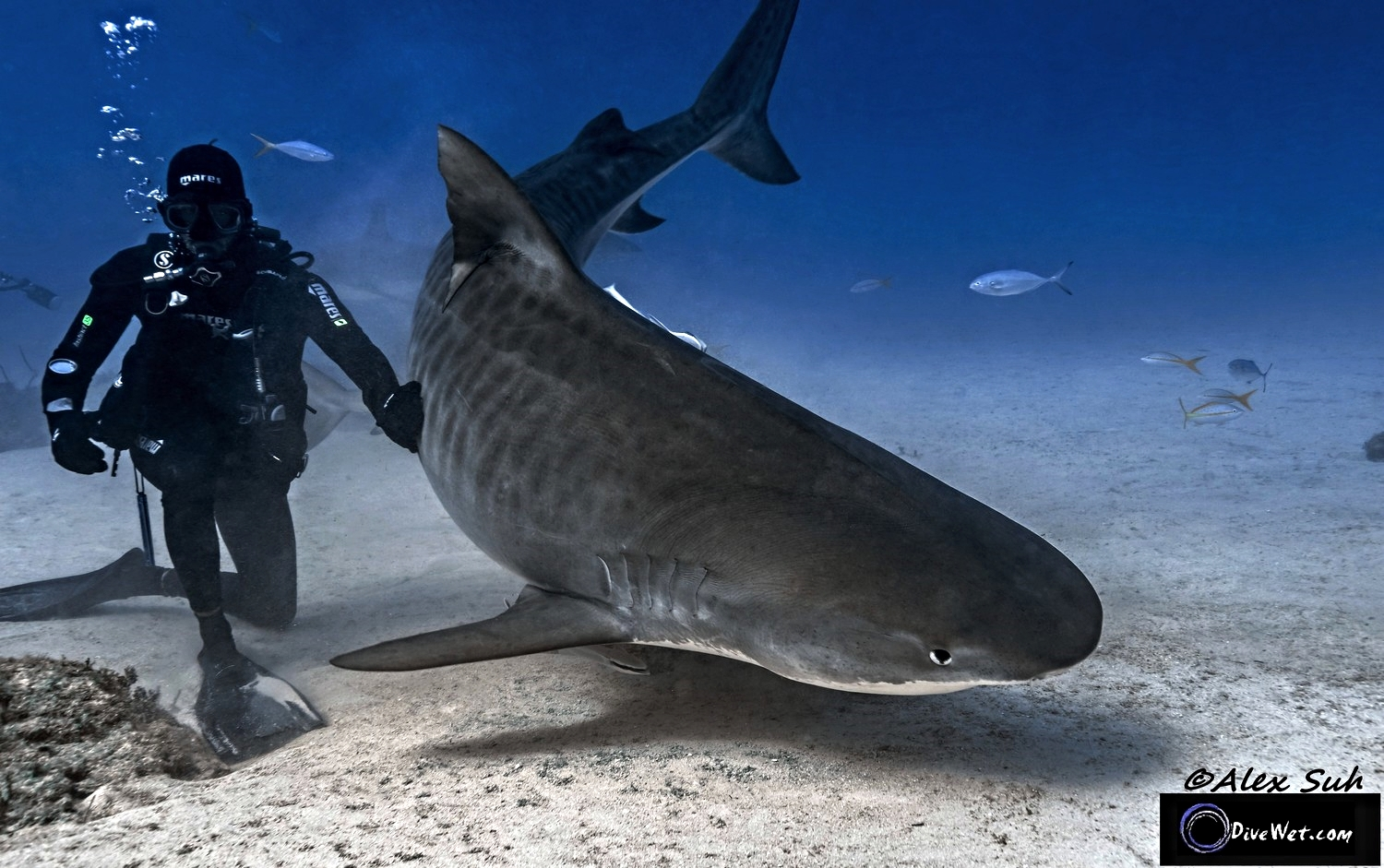 Tiger Shark (Galeocerdo cuvier) - Gently being guided by Pro-shark feeder