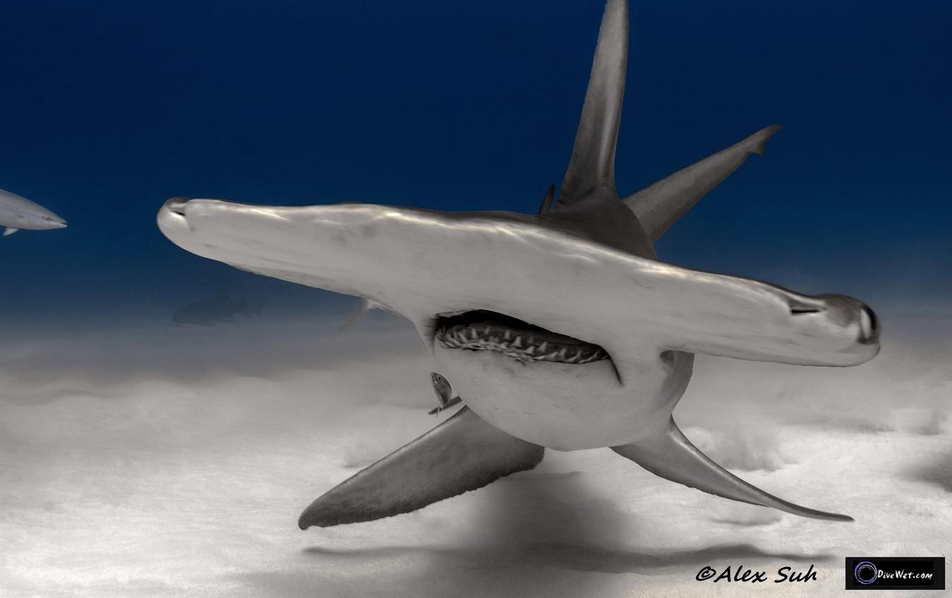 Great Hammerhead Shark (Sphyrna mokorran) - Head on