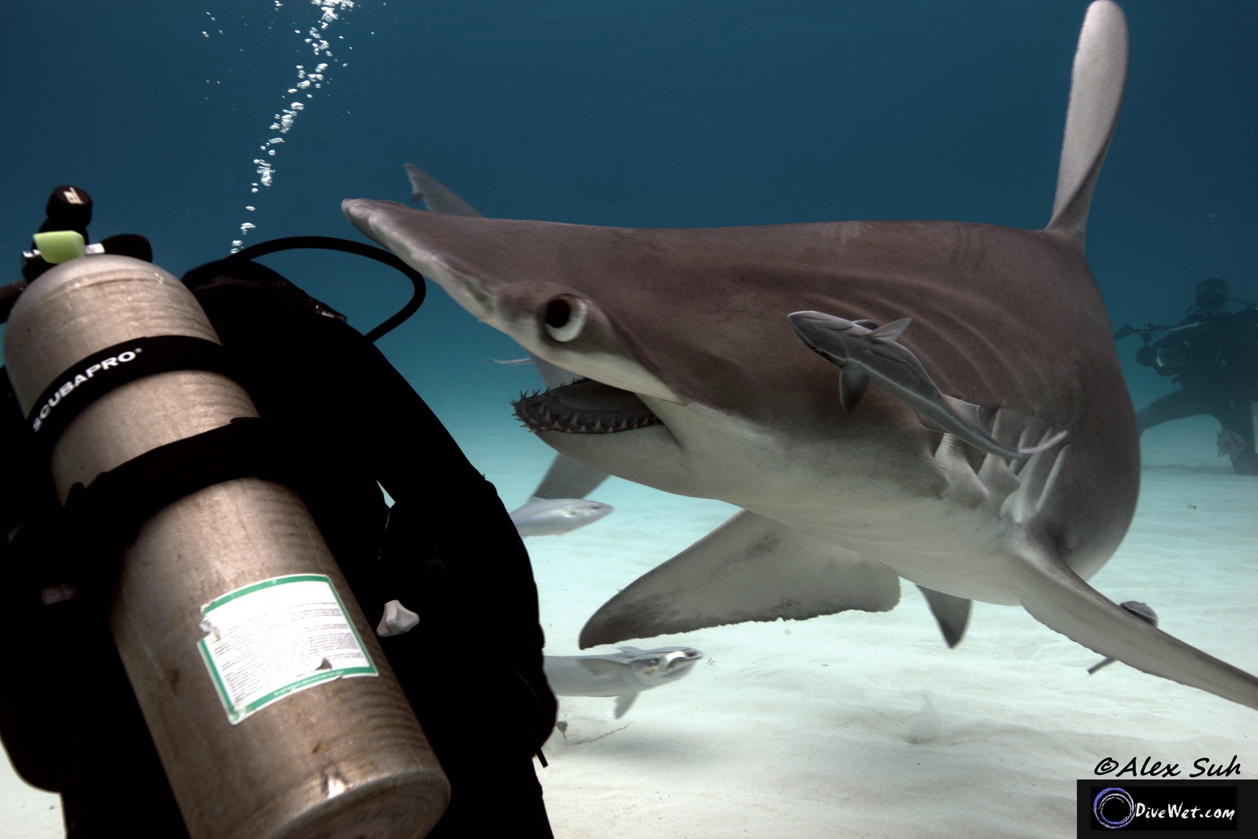 Great Hammerhead Shark (Sphyrna mokorran) - Lost My Head, haha