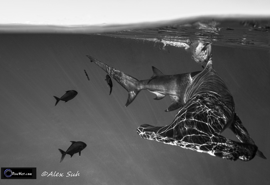 Great Hammerhead Shark (Sphyrna mokorran)  - BW Over Under Hammer breaking the surface