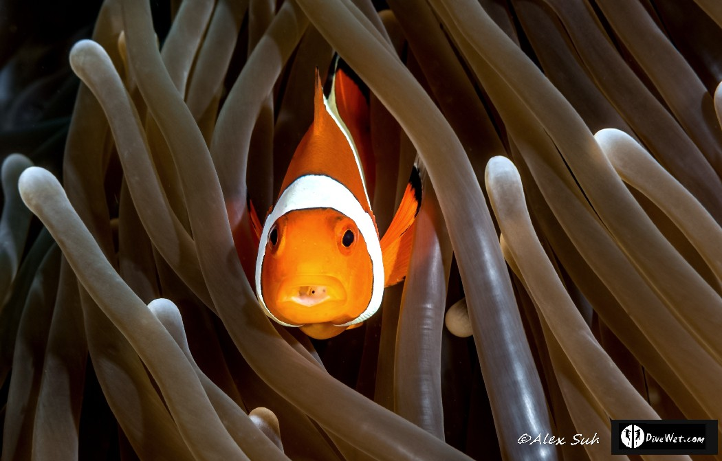 Percula Clownfish (Amphiprion percula)