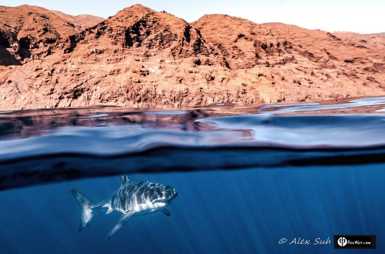 Great White Shark (Carcharodon carcharias) Over Under
