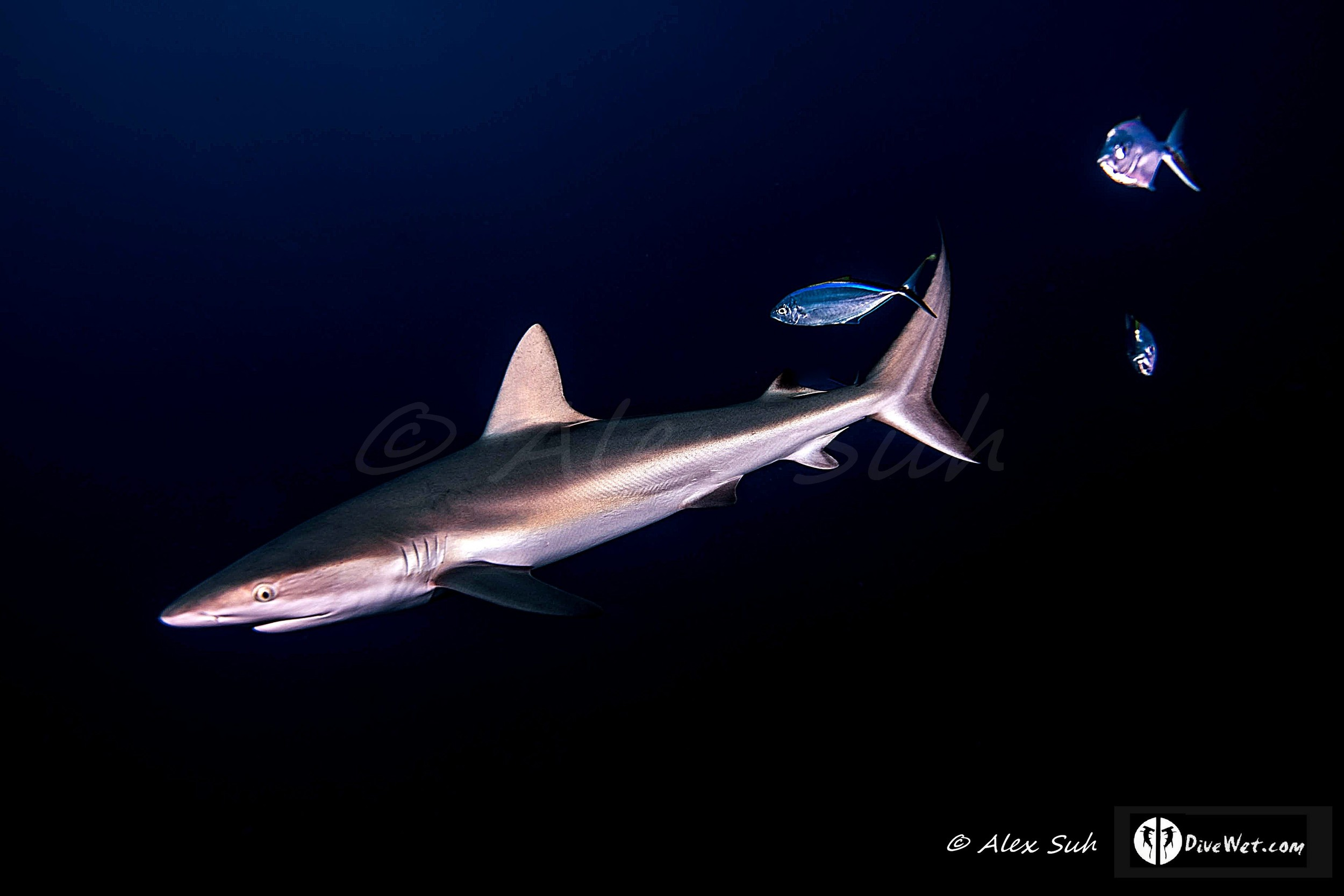 Caribbean Reef Shark (Carcharhinus perezii) and Friends