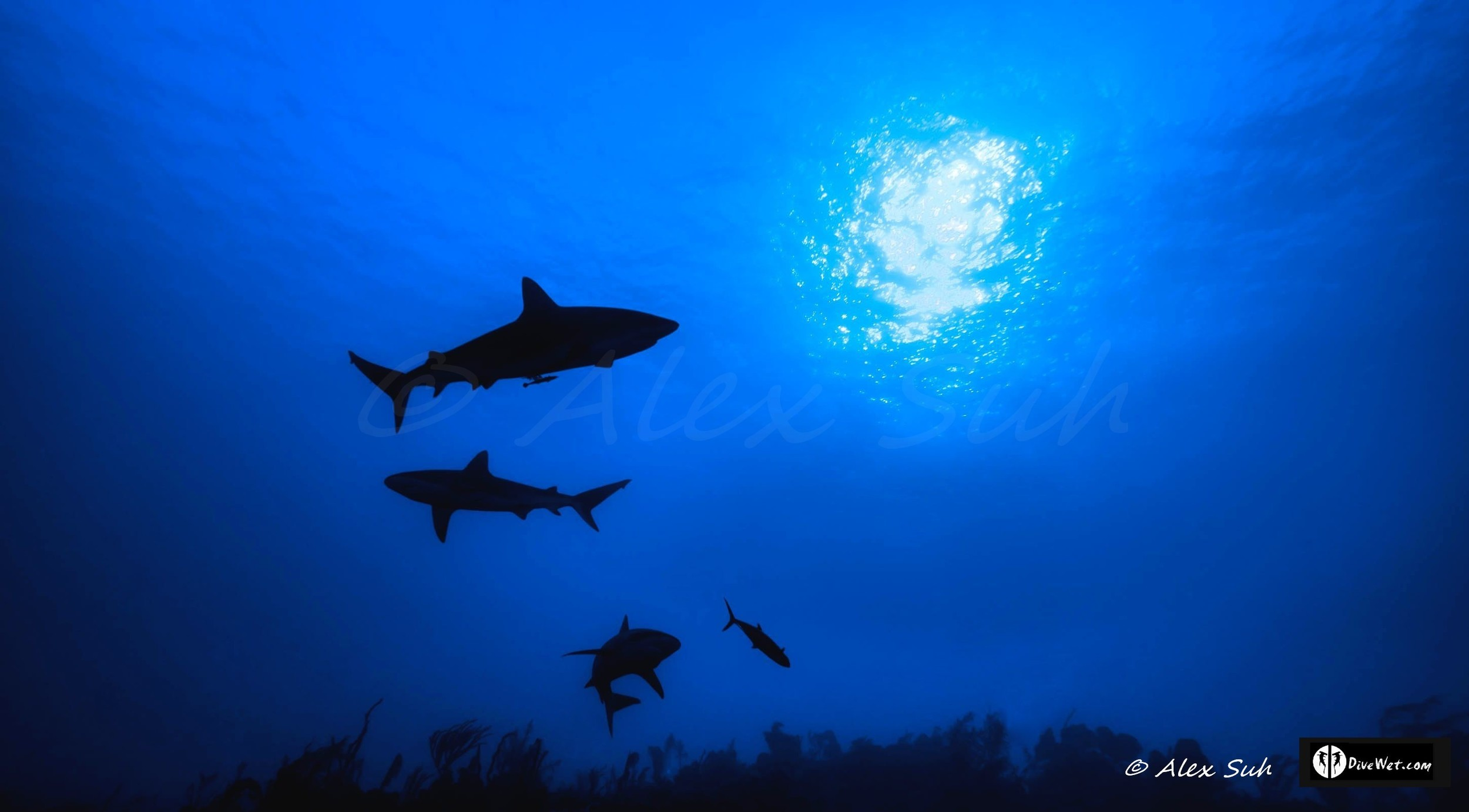 Shadows of Caribbean Reef Sharks (Carcharhinus perezii)