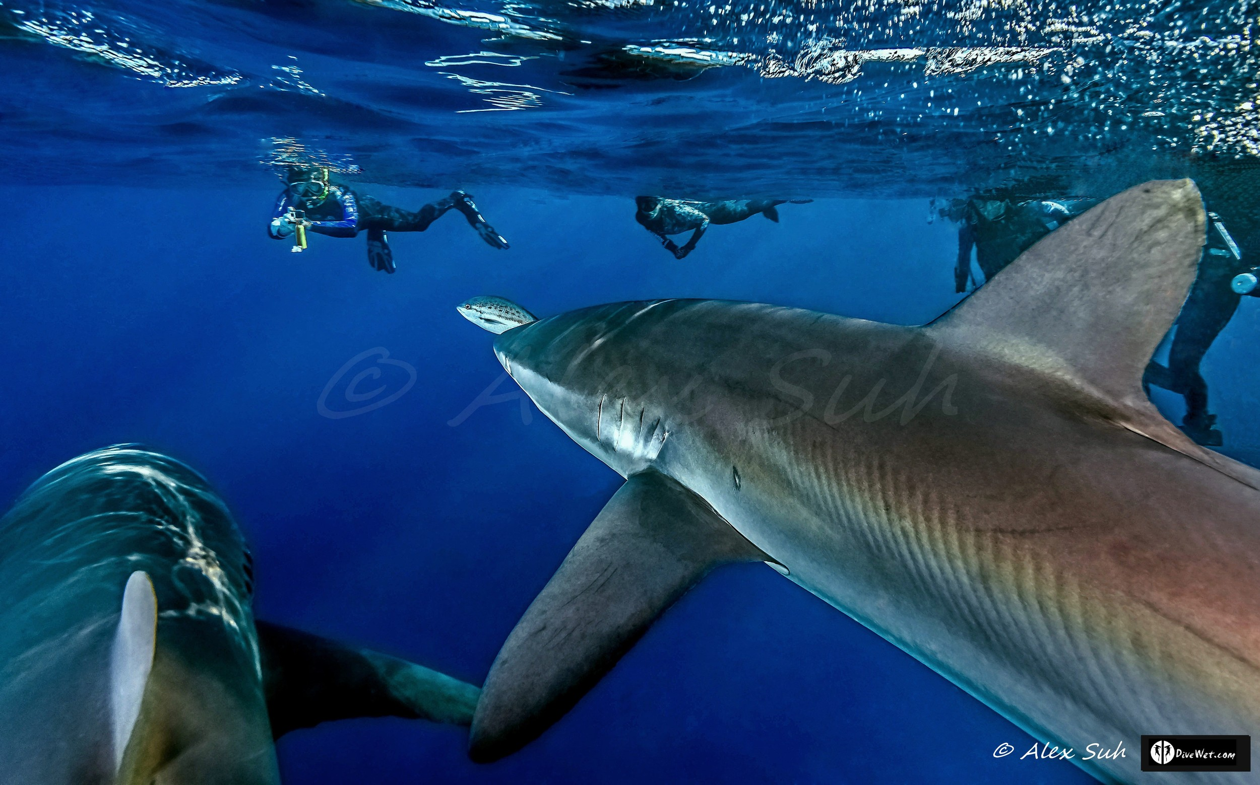 Silky Sharks (Carcharhinus falciformis) Curious About Divers