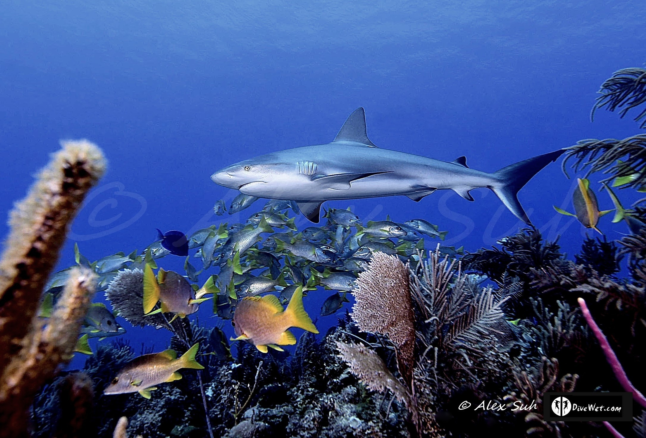 Caribbean Reef Shark (Carcharhinus perezii) Over Reef