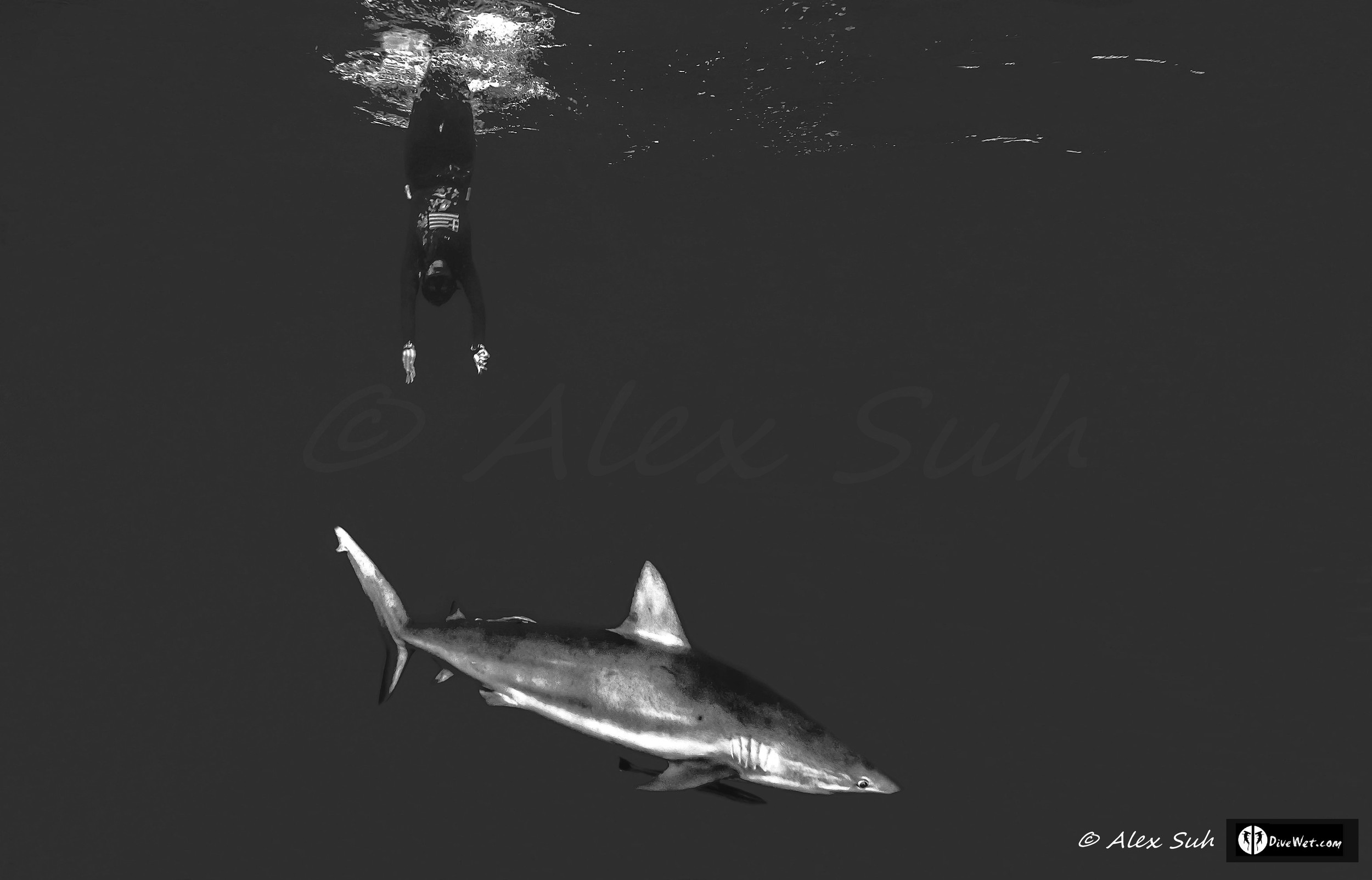 Greek Freediver Katerina Diving to Caribbean Reef Shark (Carcharhinus perezii)