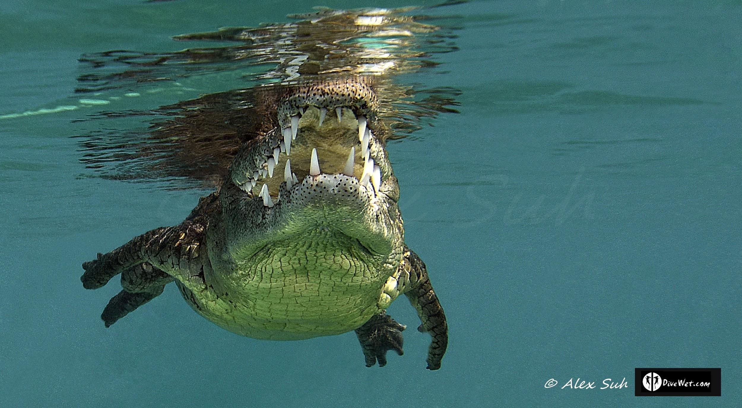 American Crocodile (Crocodylus acutus) swimming towards me
