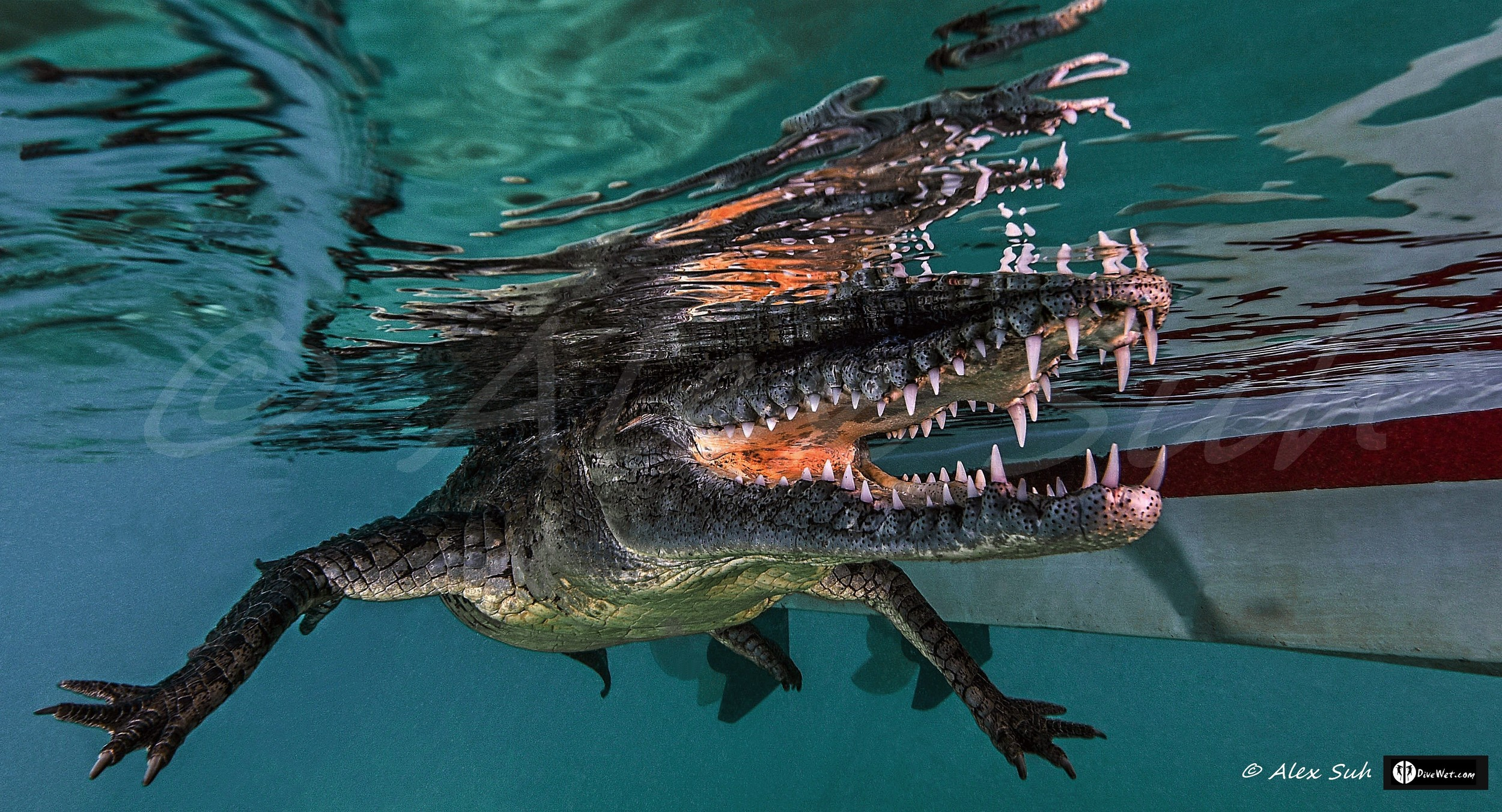 American Crocodile (Crocodylus acutus) - Image taken while snorkeling next to boat