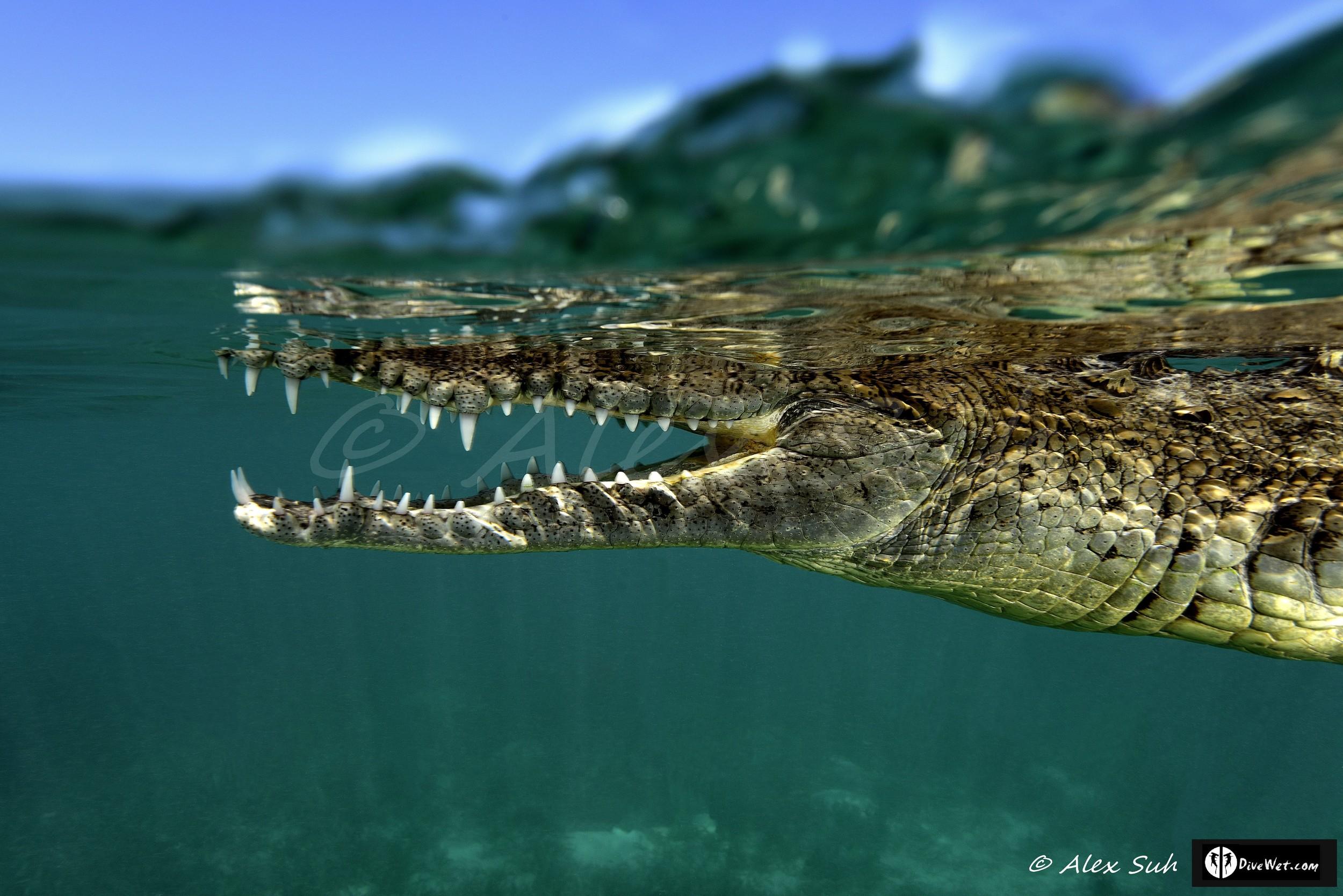 Over Under Image of American Crocodile (Crocodylus acutus) swimming pass me