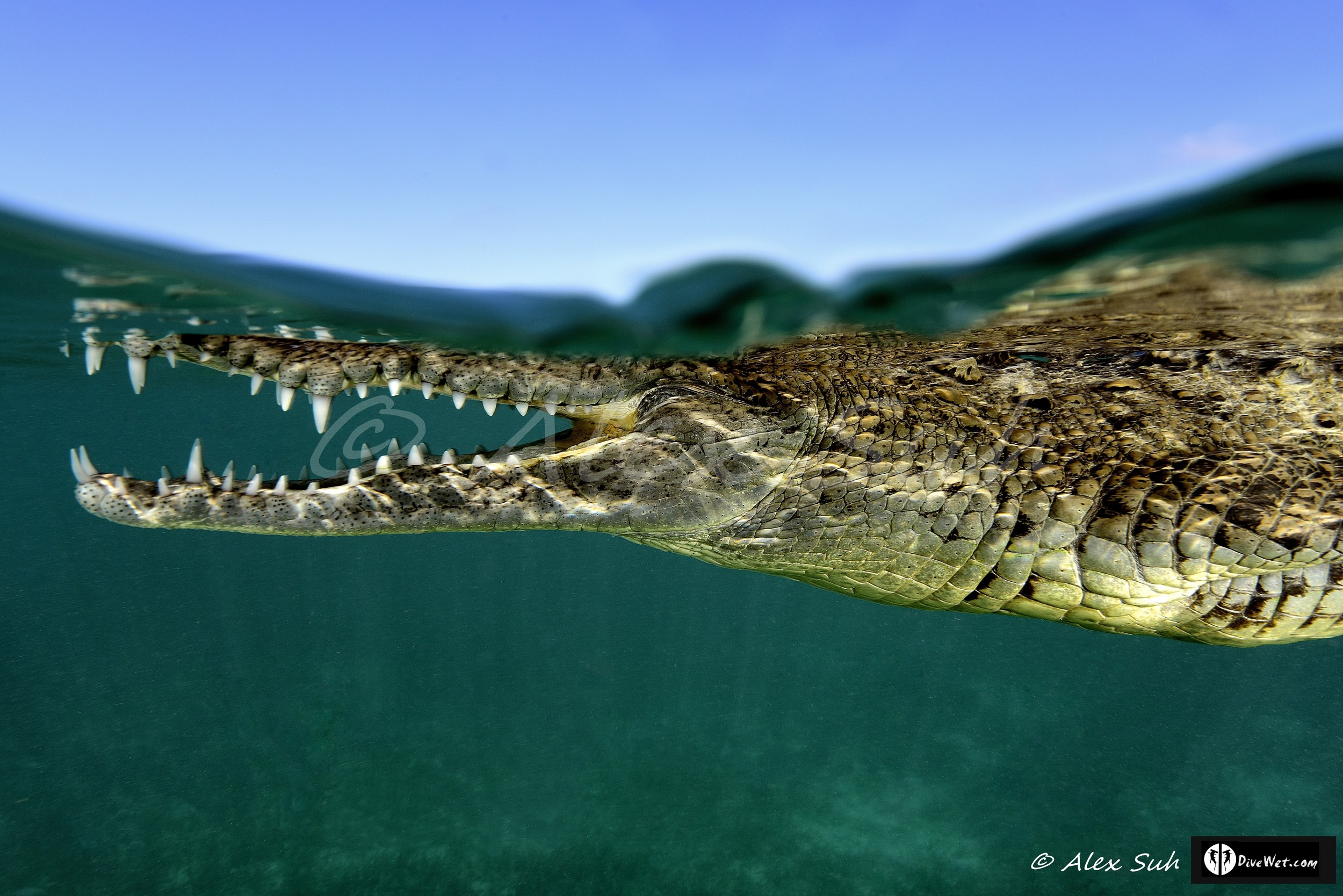 Over Under of American Crocodile (Crocodylus acutus) Swimming pass me by inches