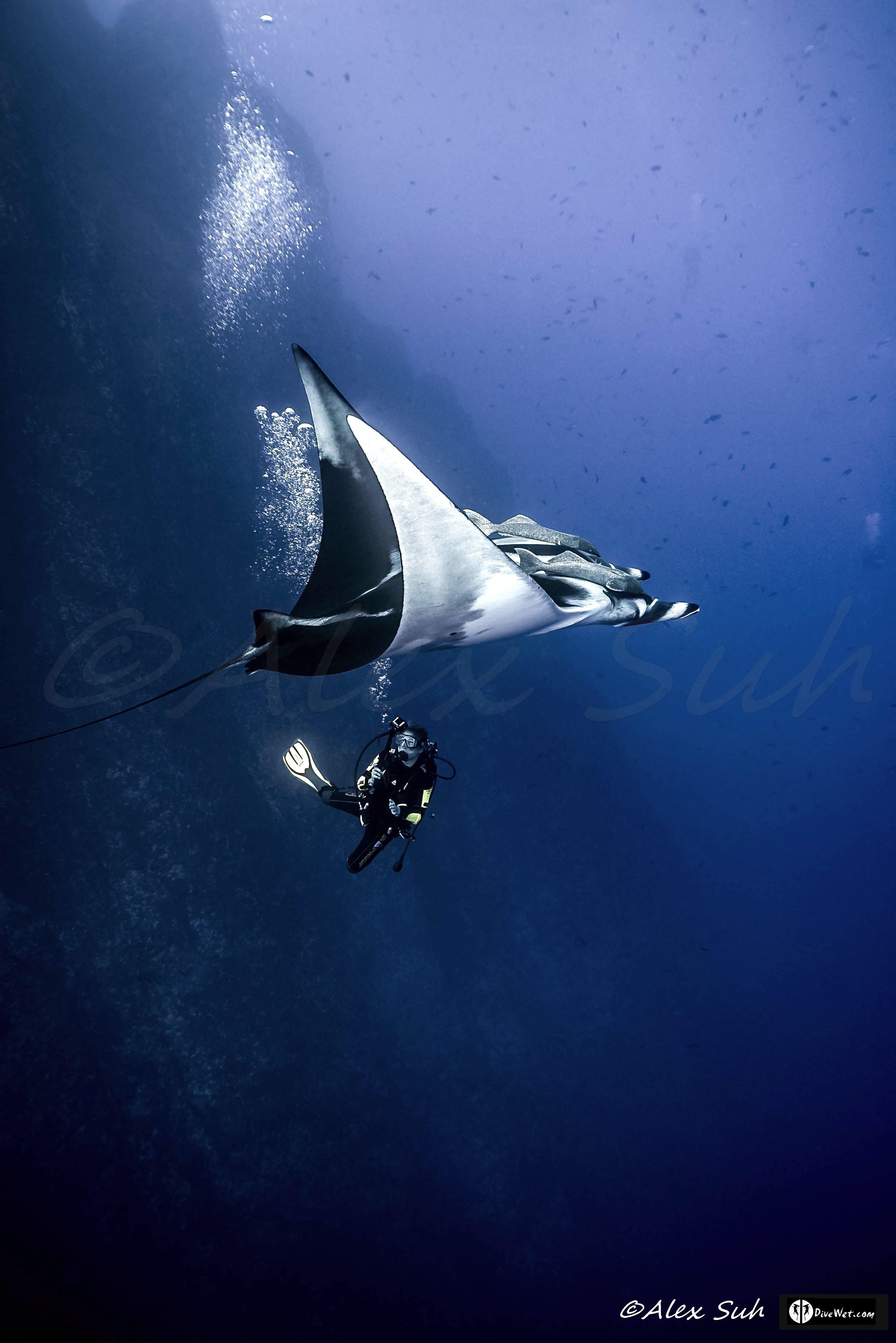 Giant Pacific Manta (Manta hamiltoni) & Becca Young Diver 2