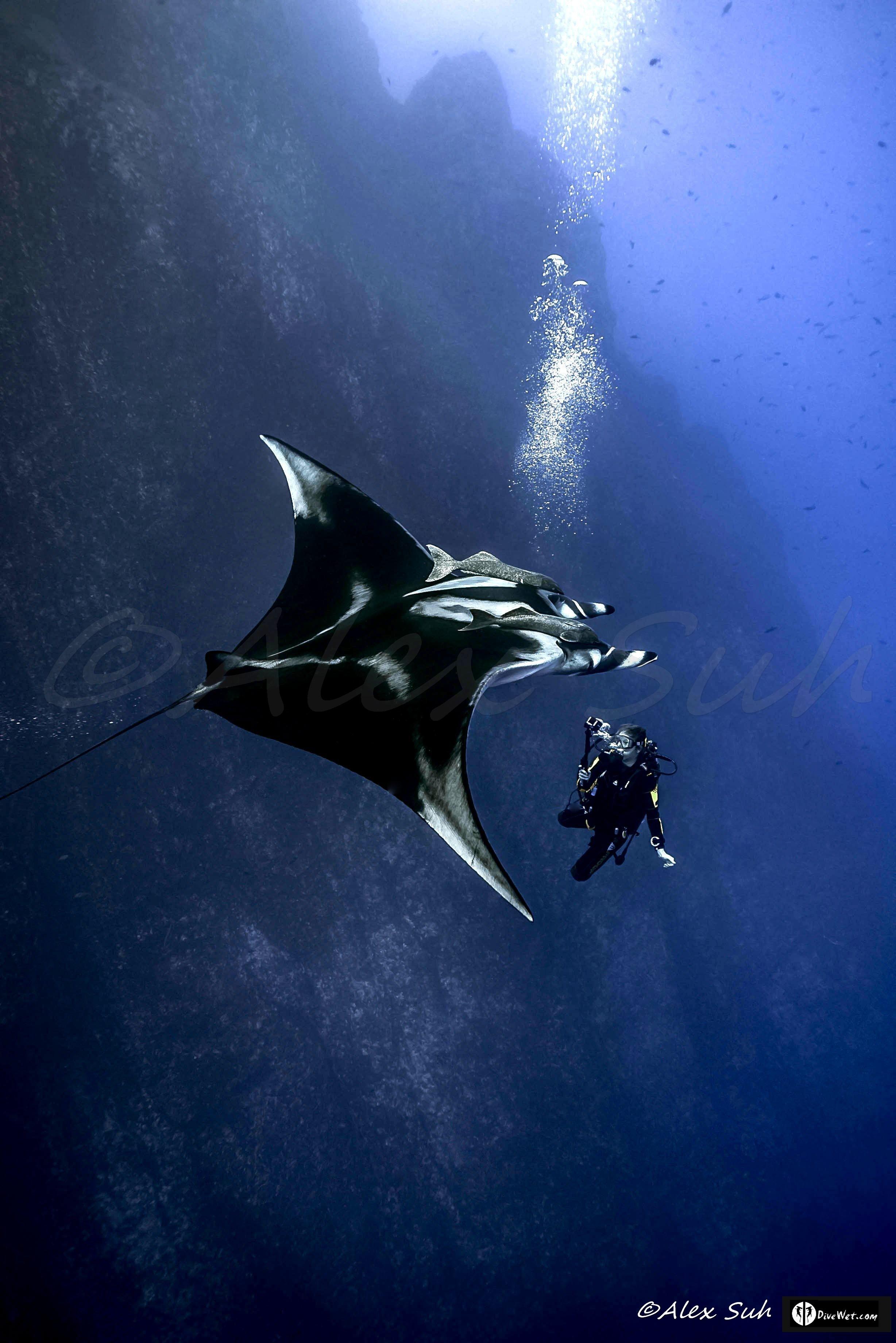 Giant Pacific Manta (Manta hamiltoni) & Becca Young Diver