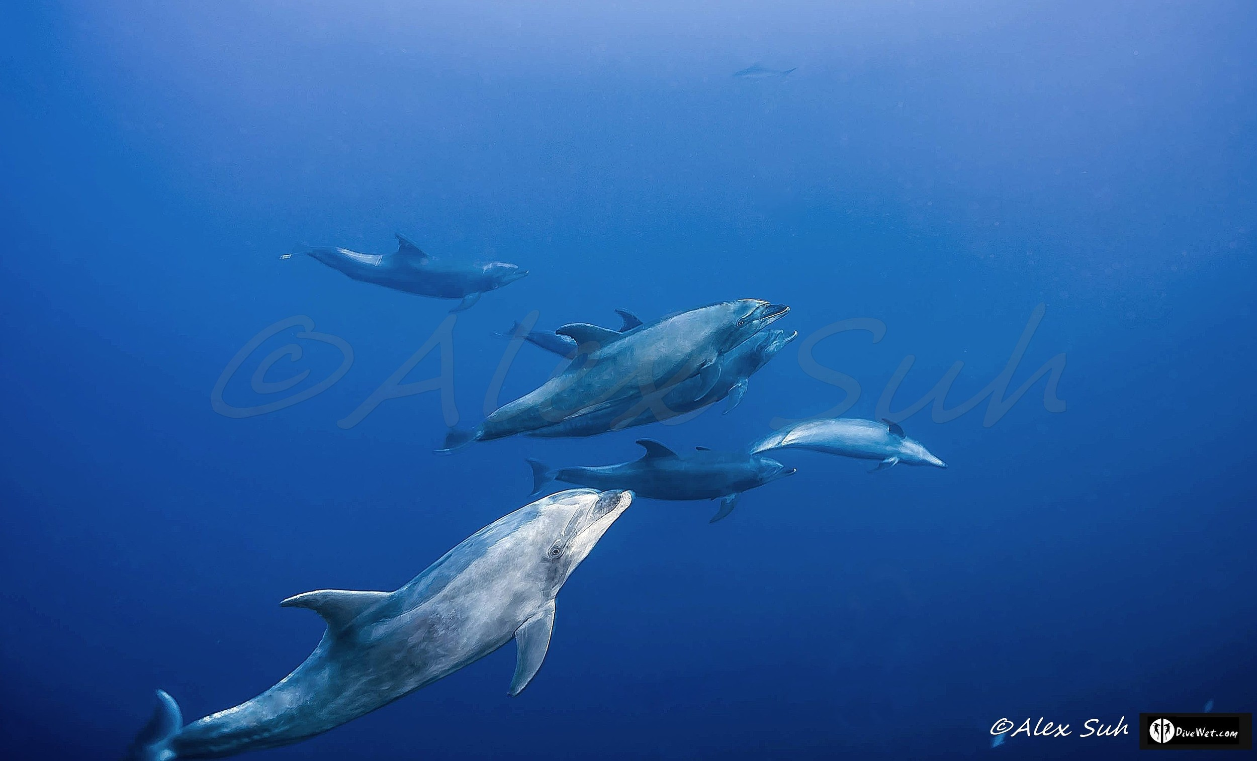 Pacific Bottlenose Dolphins (Tursiops truncatus)