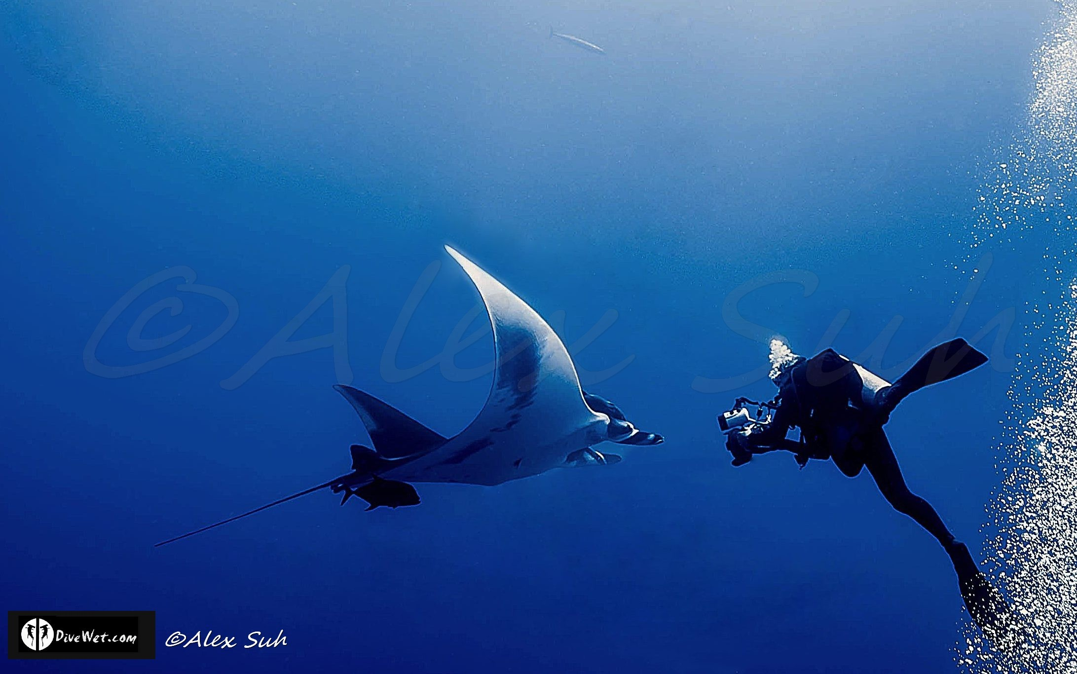 Giant Pacific Manta (Manta hamiltoni) Being Photographed