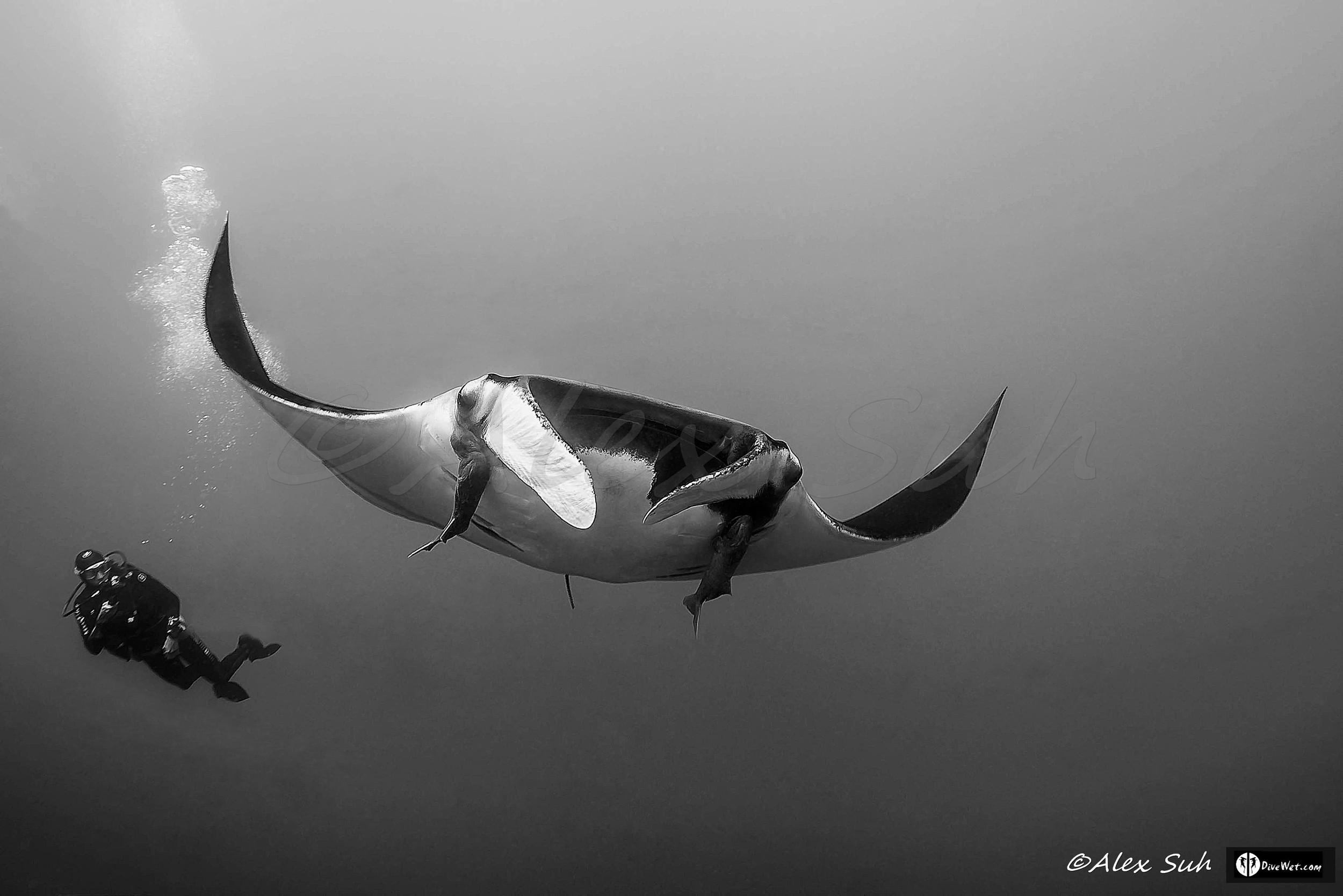 Giant Pacific Manta (Manta hamiltoni) w/ Diver