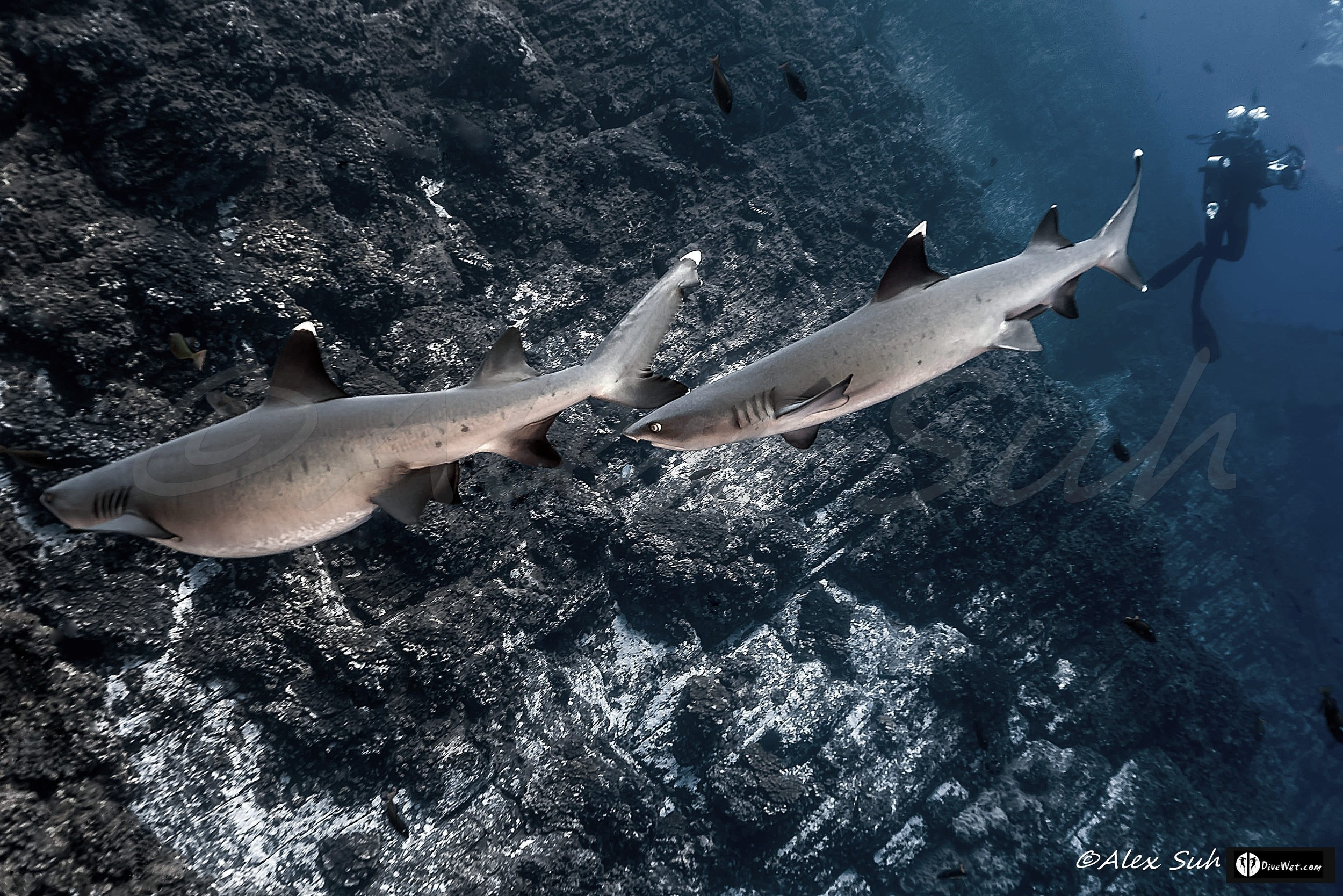 Whitetip Reef Sharks (Triaenodon obesus) Which one is pregnant?