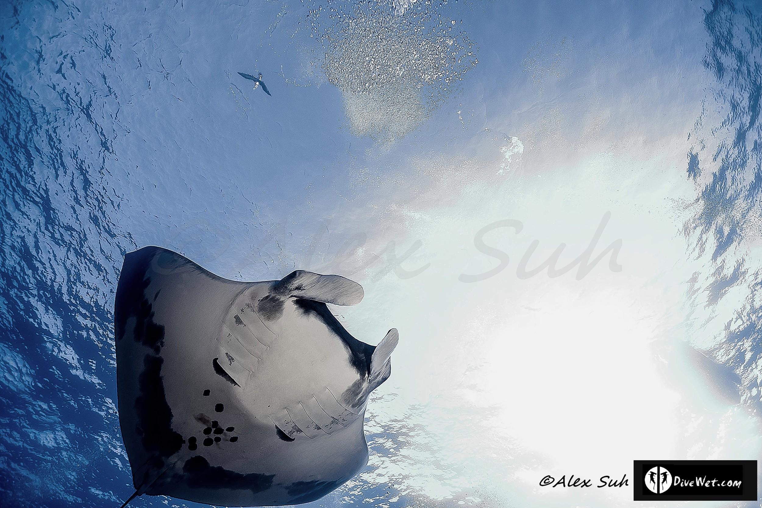 Giant Pacific Manta (Manta hamiltoni) Near Surface (See Bird Above?)