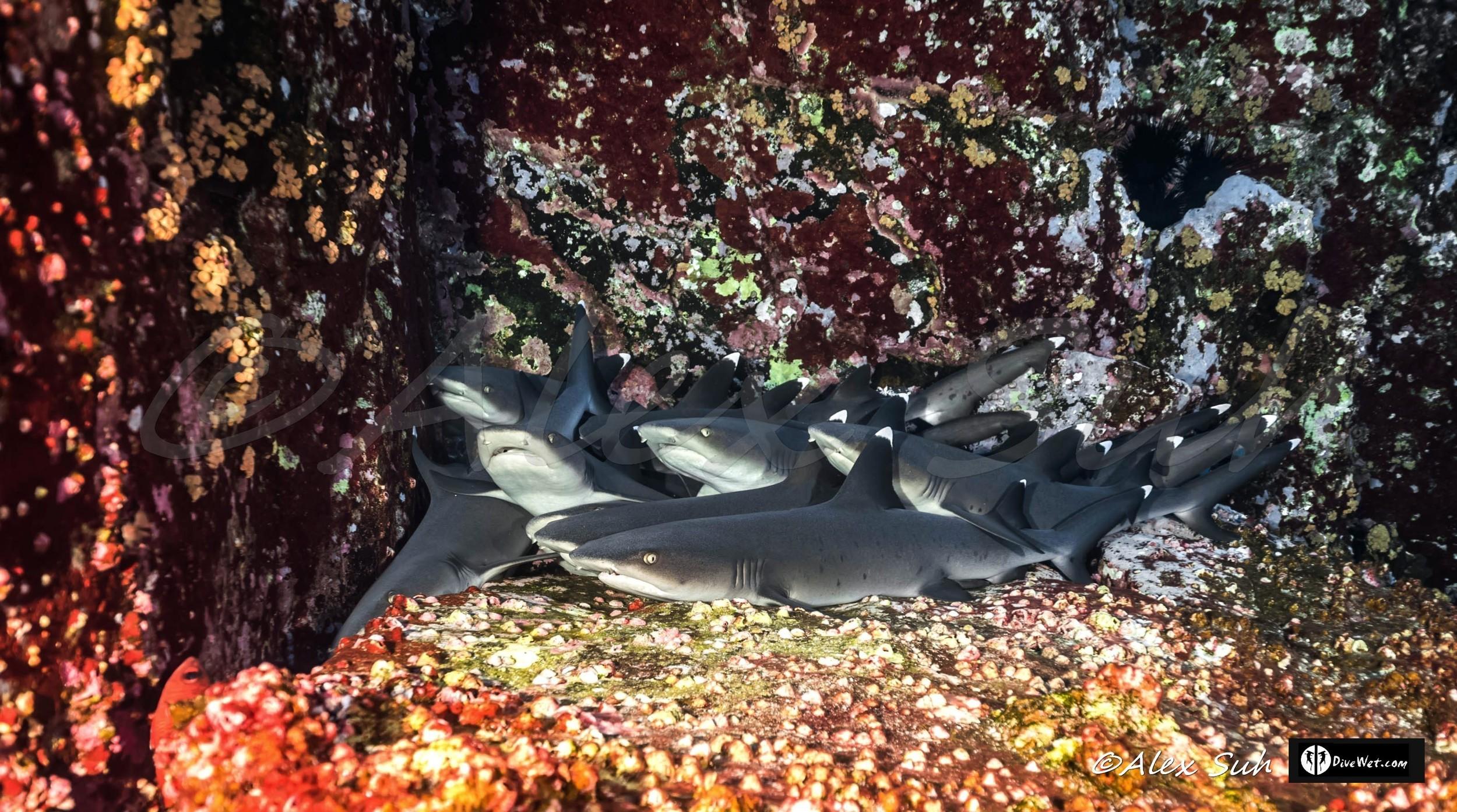 Whitetip Reef Sharks (Triaenodon obesus) Family Affair