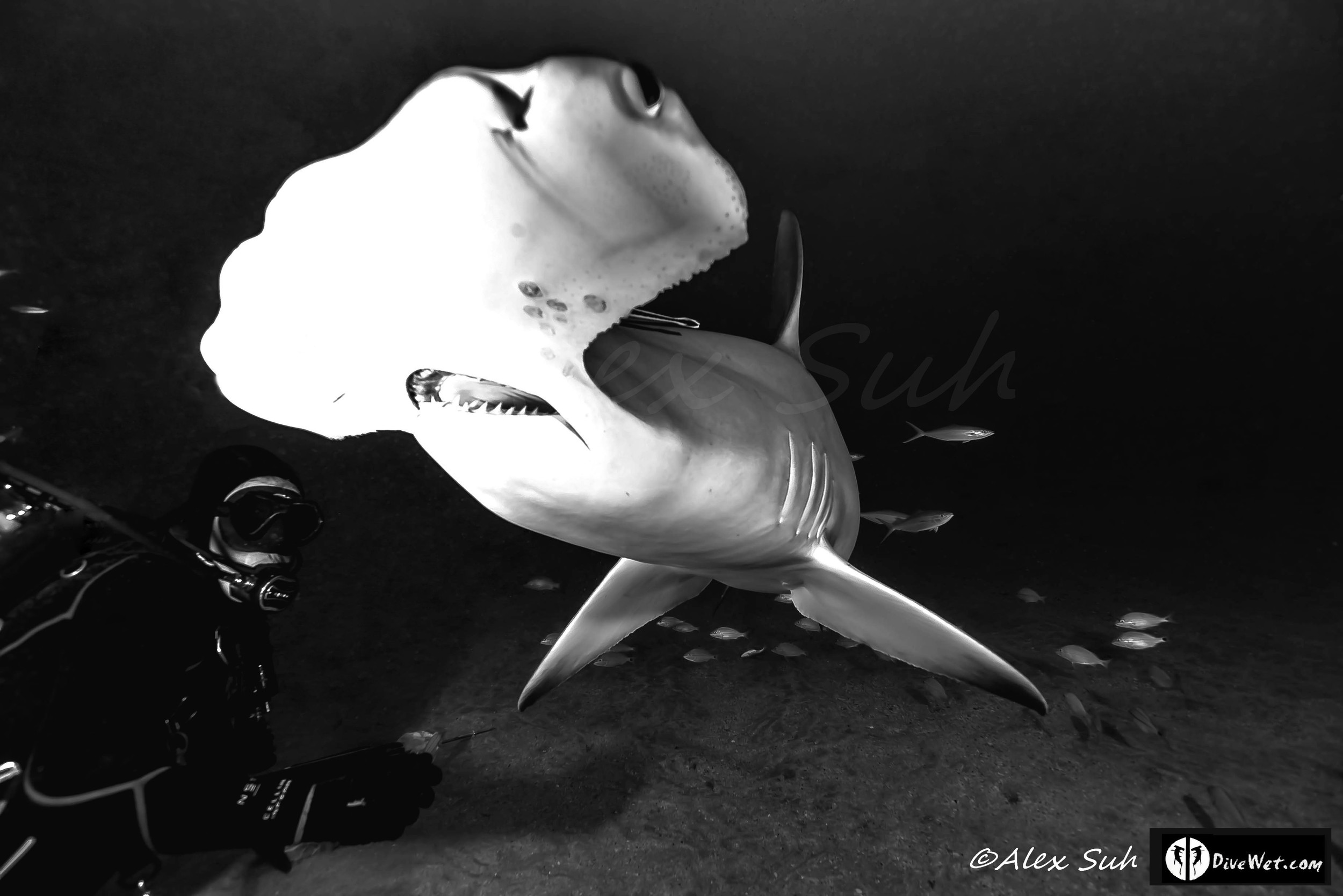Great Hammerhead Shark (Sphyrna mokorran) B&W