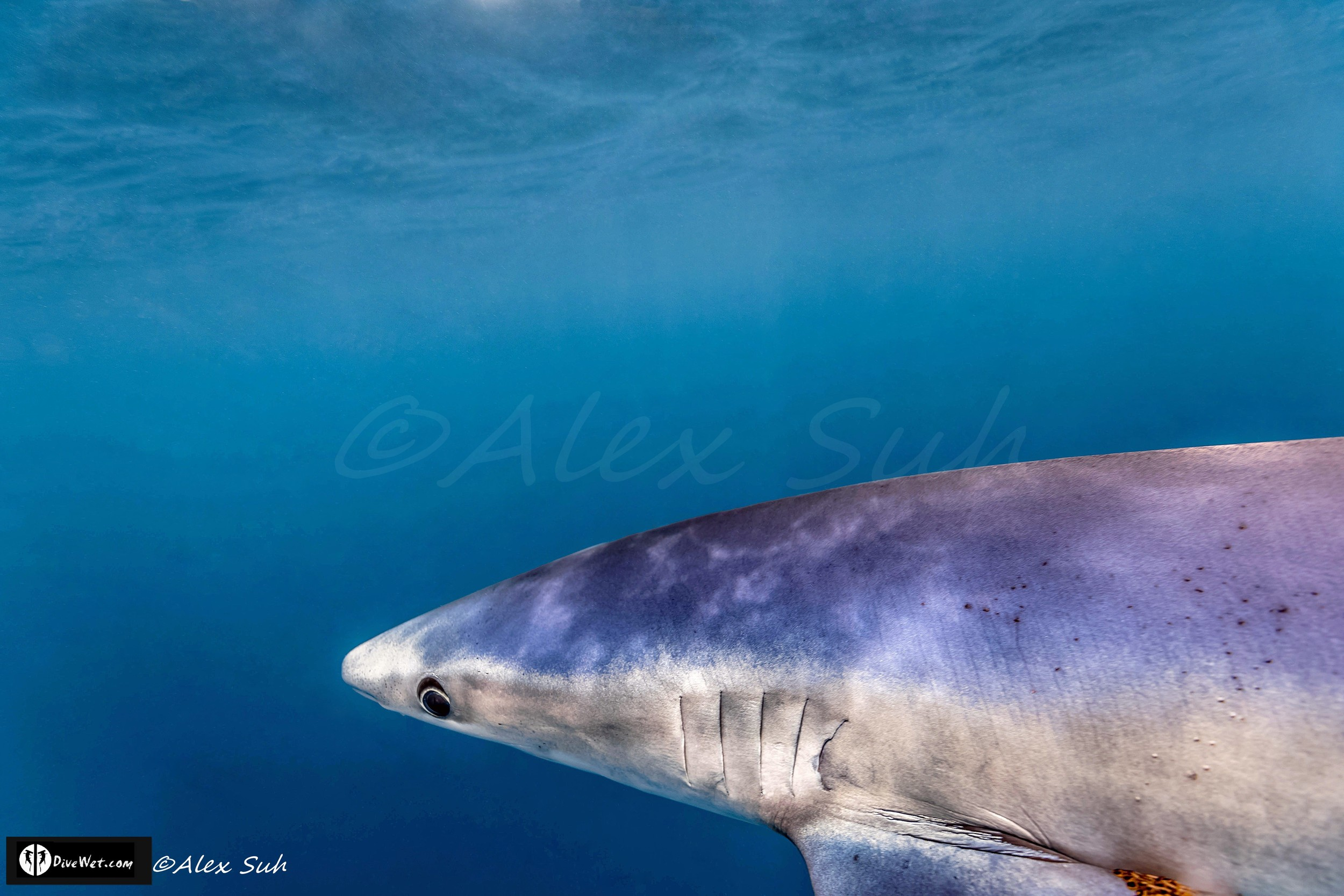 Blue Shark (Prionace glauca) Up Close