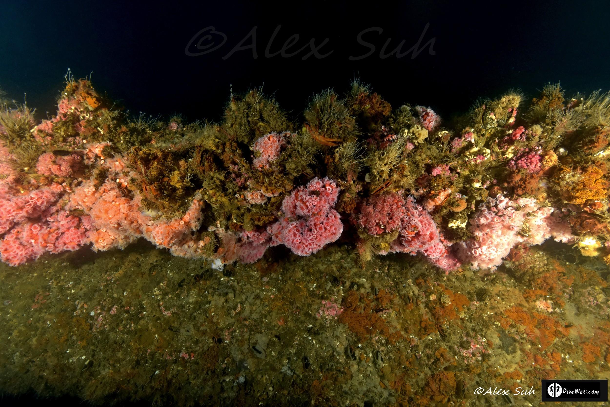 Eureka Oil Rig Pipe Coral Life