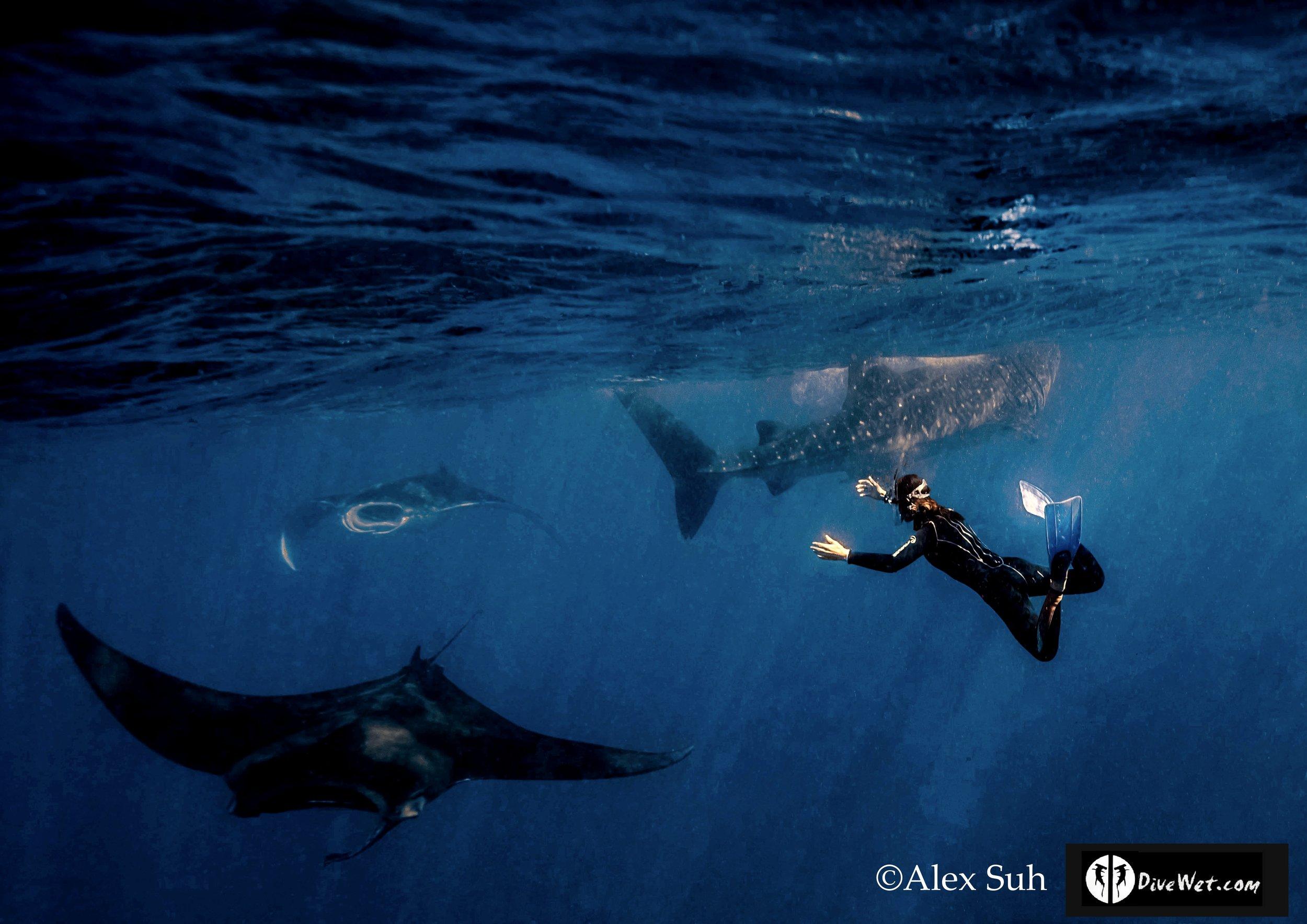 MARKED Mantas, Whale Shark Mel 2016.jpg