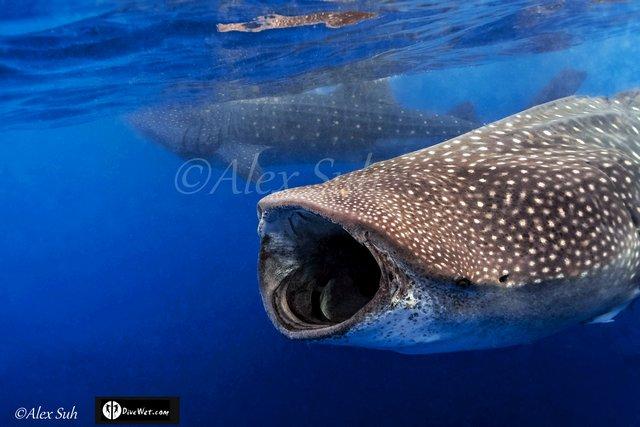 MARKED CENTER Double Whale Sharks.jpg.jpeg