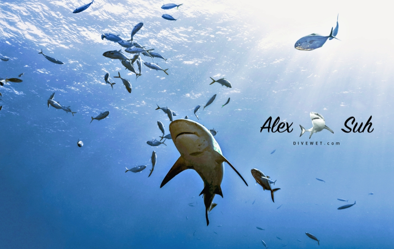 MARKED Bull Shark From Below.jpg