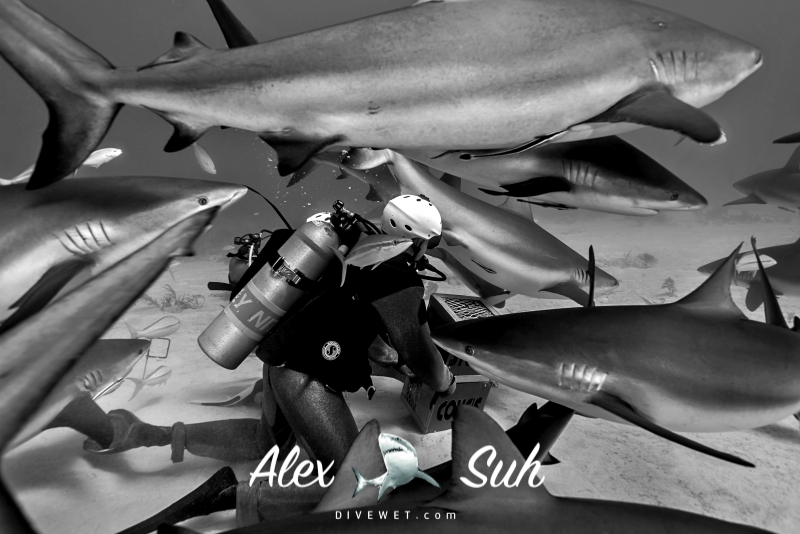 Shark Feeding - Lot's of Caribbean Reef Sharks