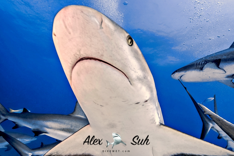 Caribbean Reef Shark - Avoiding me head on