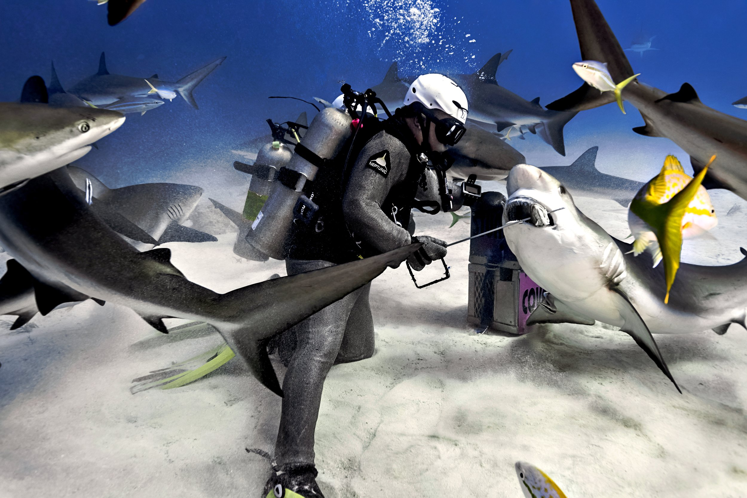 Alex feeding Carribean Reef Sharks