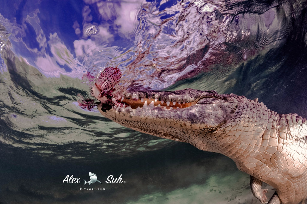 MARKED Croc Feeding on Lion Fish 72dpi.jpg