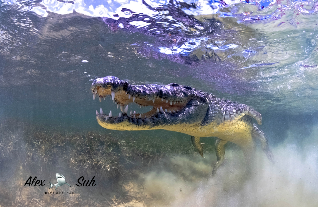 MARKED Croc Leaping  72.jpg